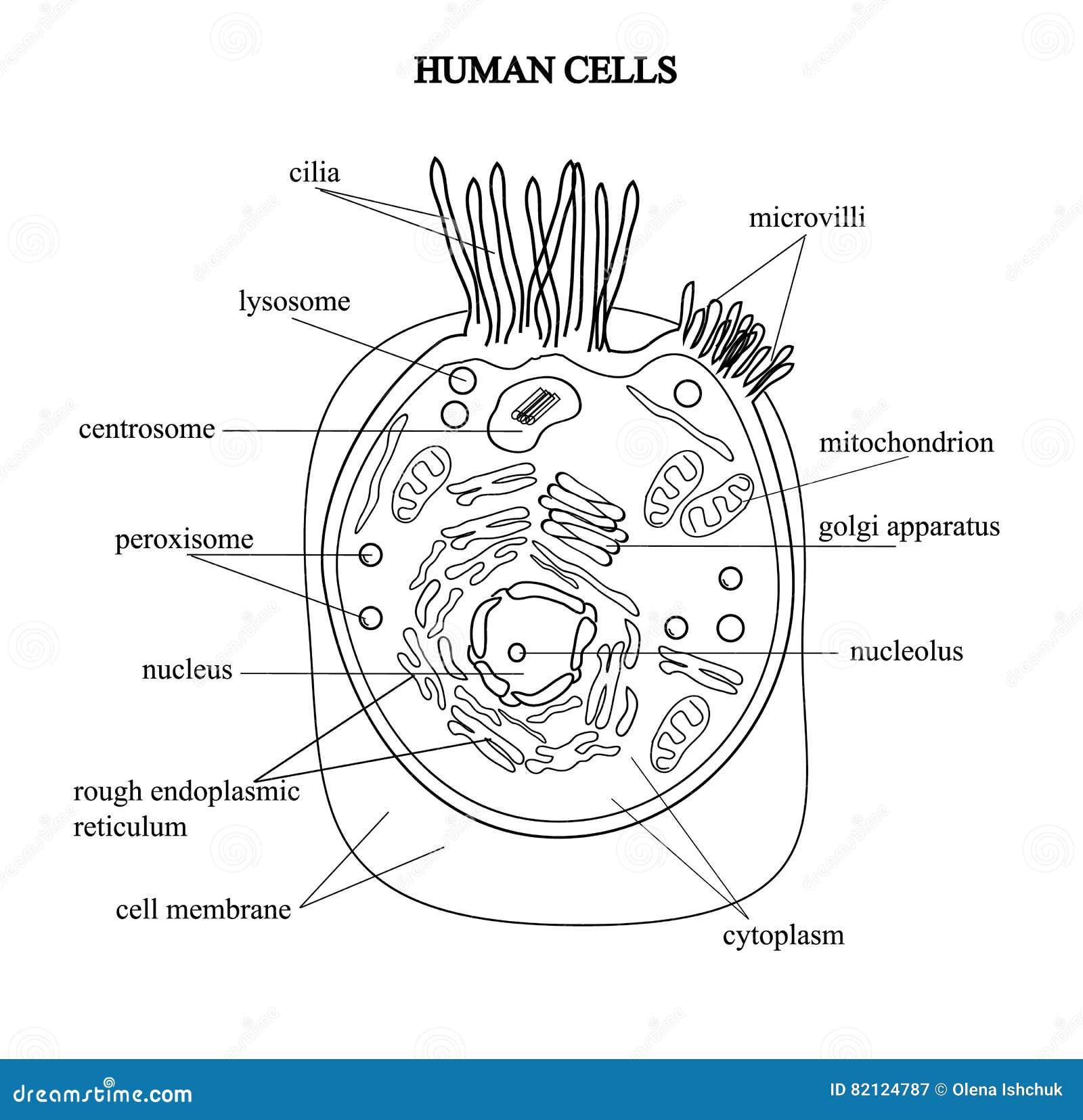 Beste Menschliche Zelle Anatomie Fotos - Menschliche Anatomie Bilder ...