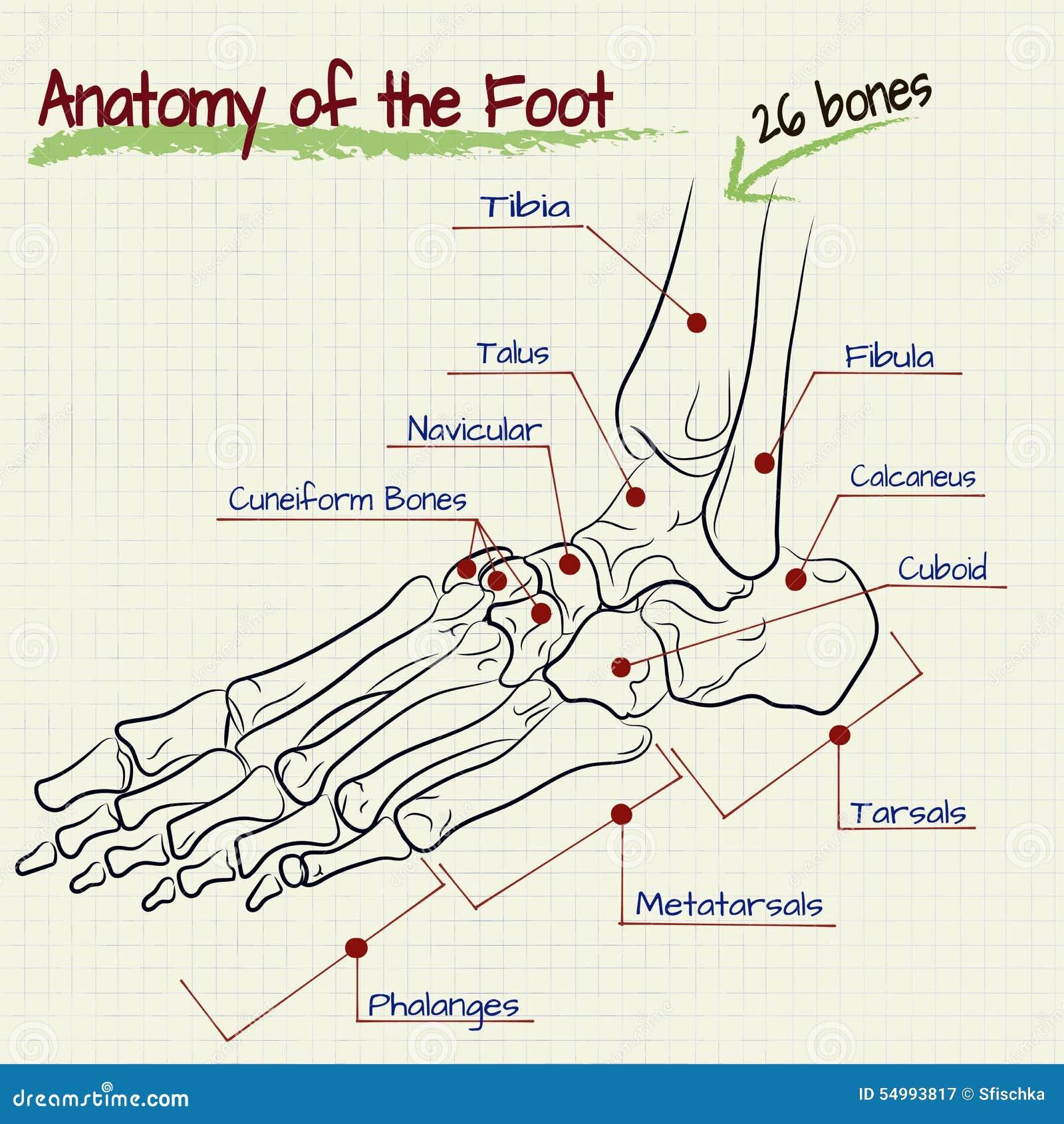 Die Struktur Des Menschlichen Fußes - Knochen Vektor Abbildung ...