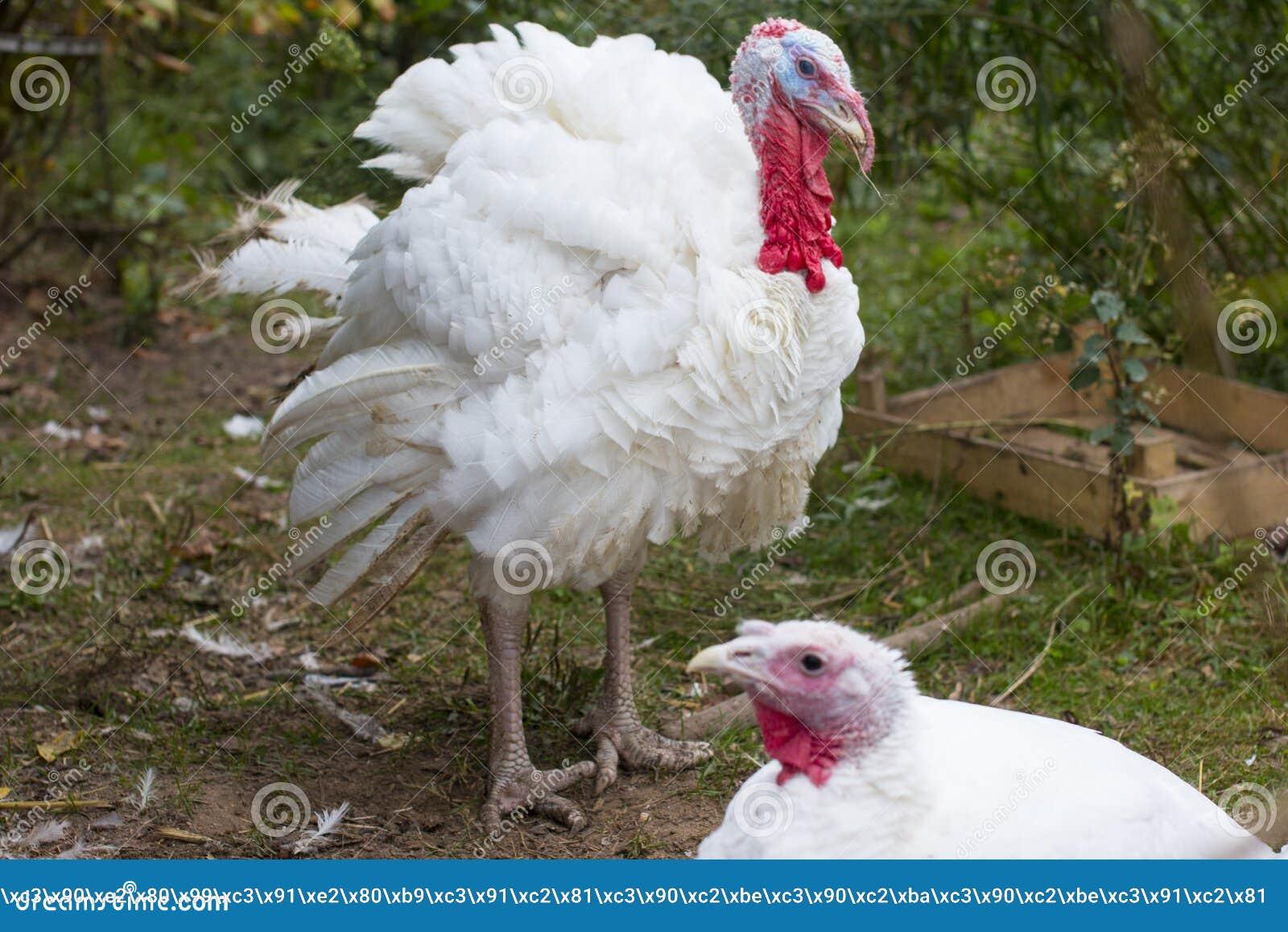 Die Türkei auf einem Bauernhof, züchtende Truthähne