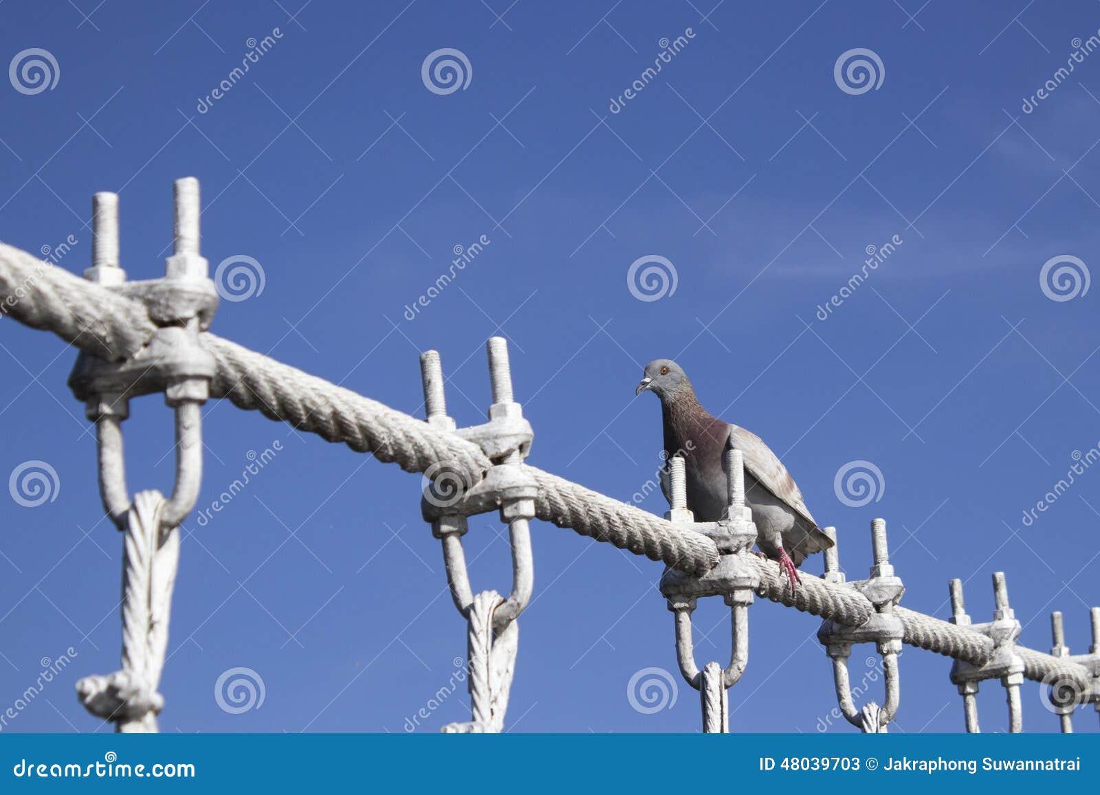 Die Taube Landete Auf Drahtseilbrücke Stockbild - Bild von weiß ...