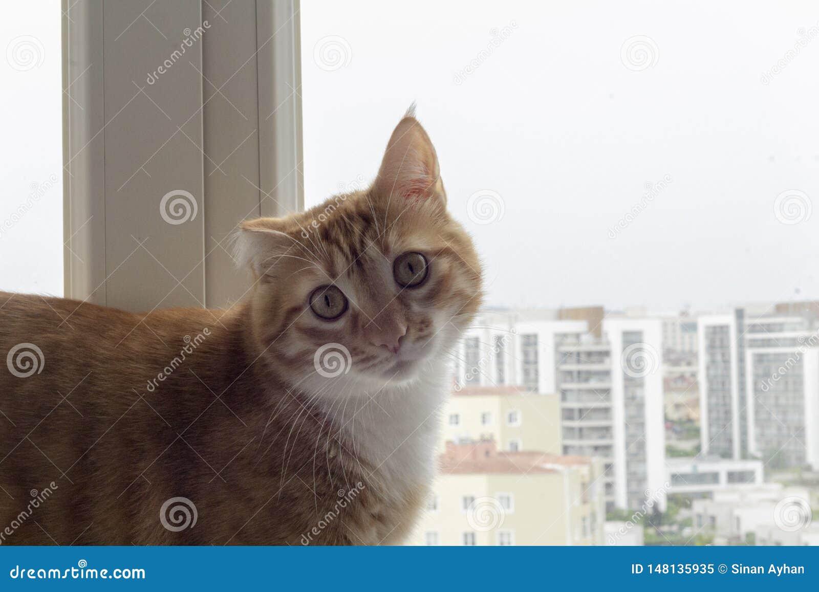 Die traumatische sarman Katze, welche die Kamera betrachtet