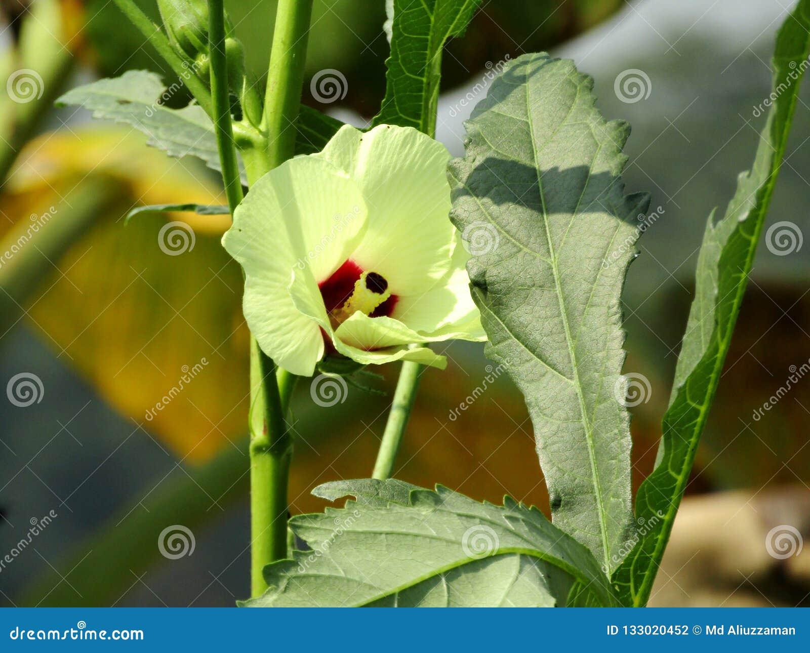 Die vagetable Blume des essbaren Eibisches
