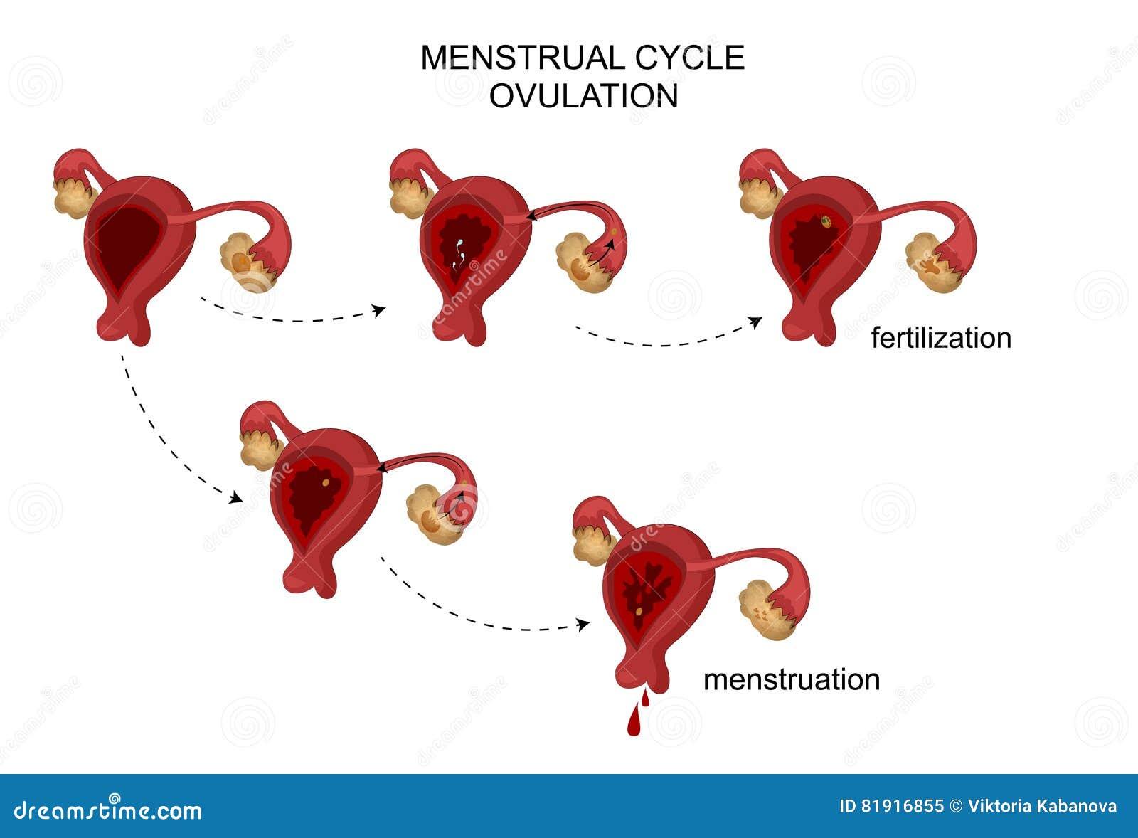 Die Weiblichen Fortpflanzungsorgane Menstruations-, Follikelphase ...