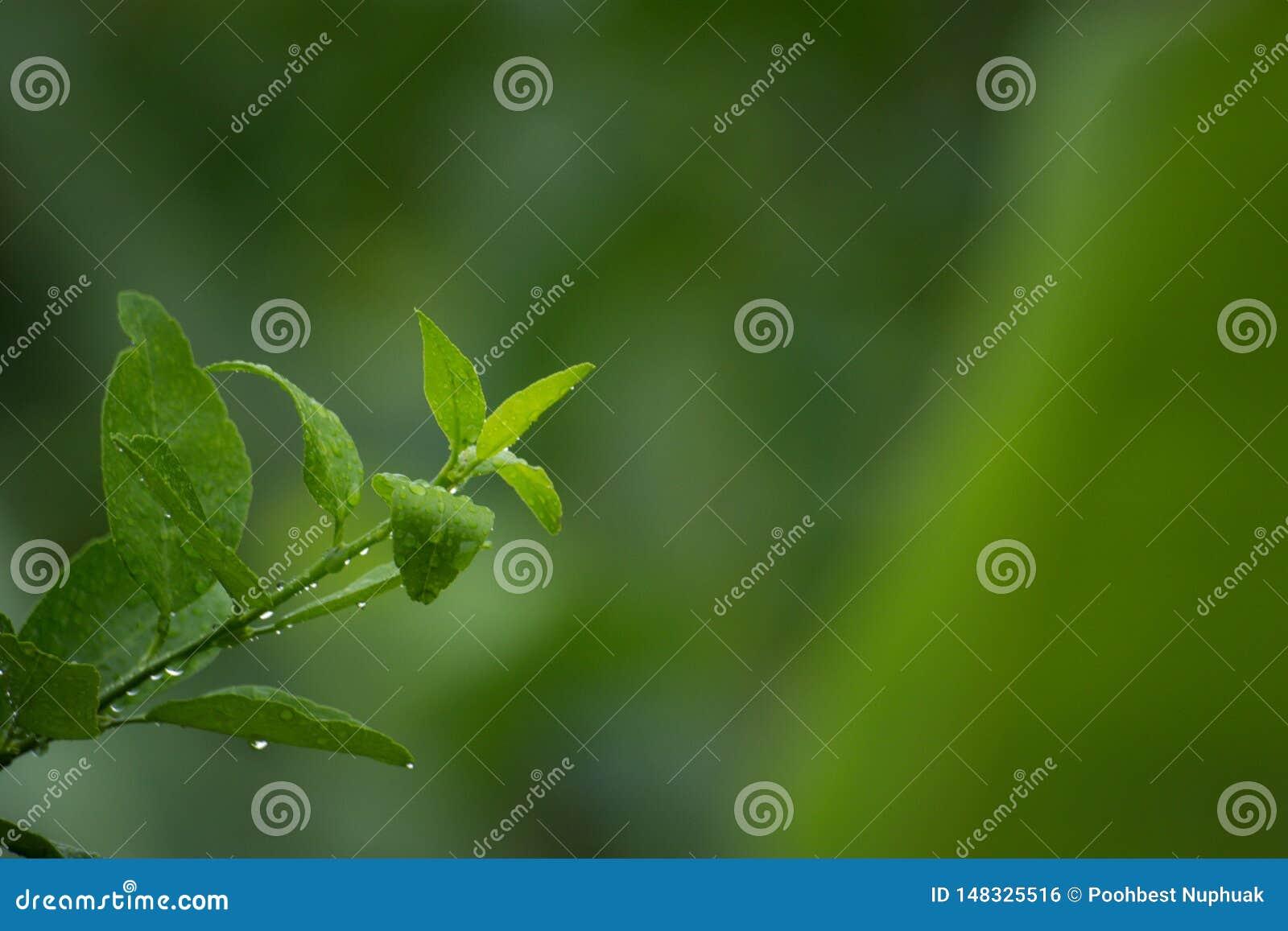 Die weiche Spitze des Zitronenbaums, genommen während des Regens