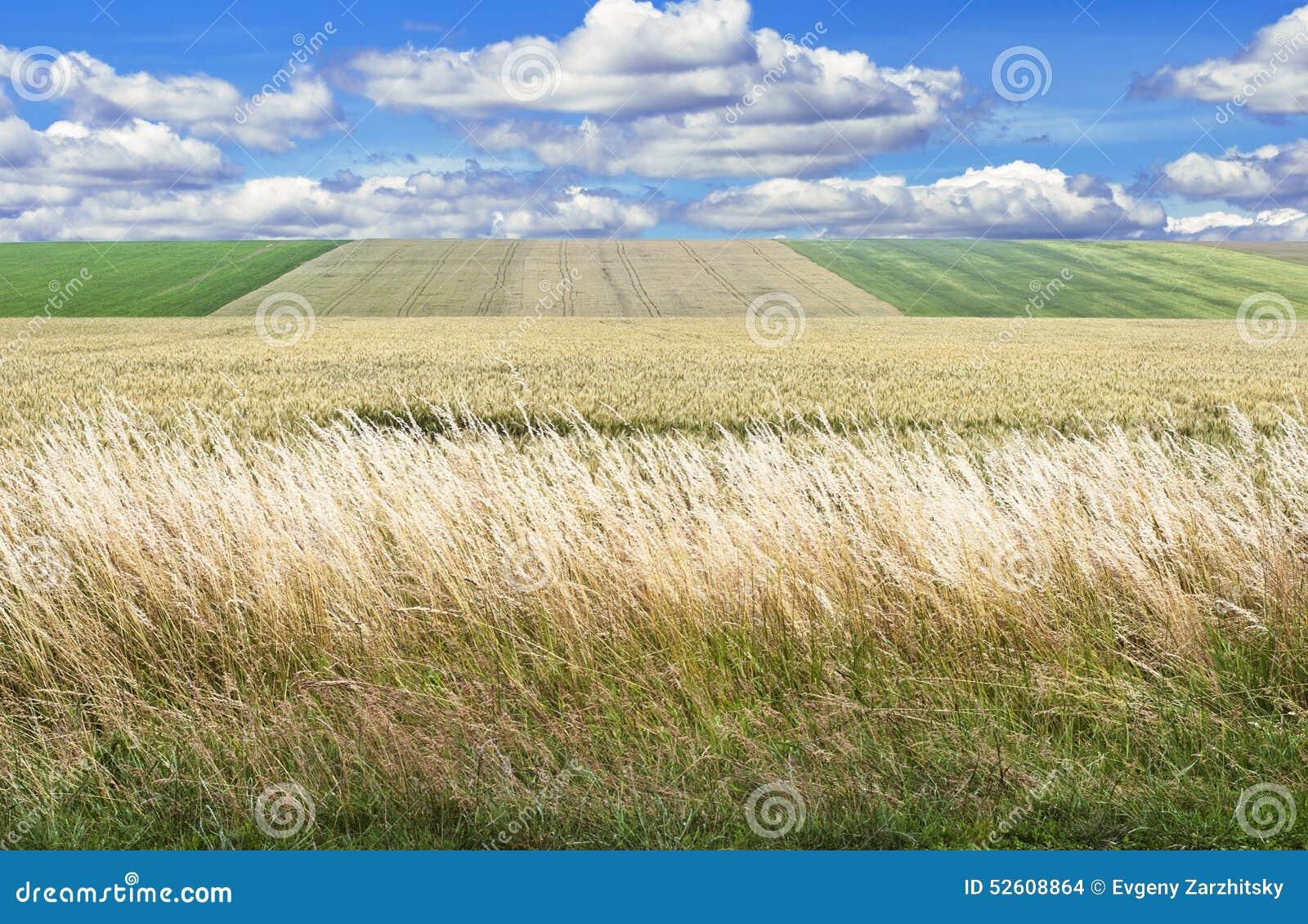 Die Wiese des Weizens