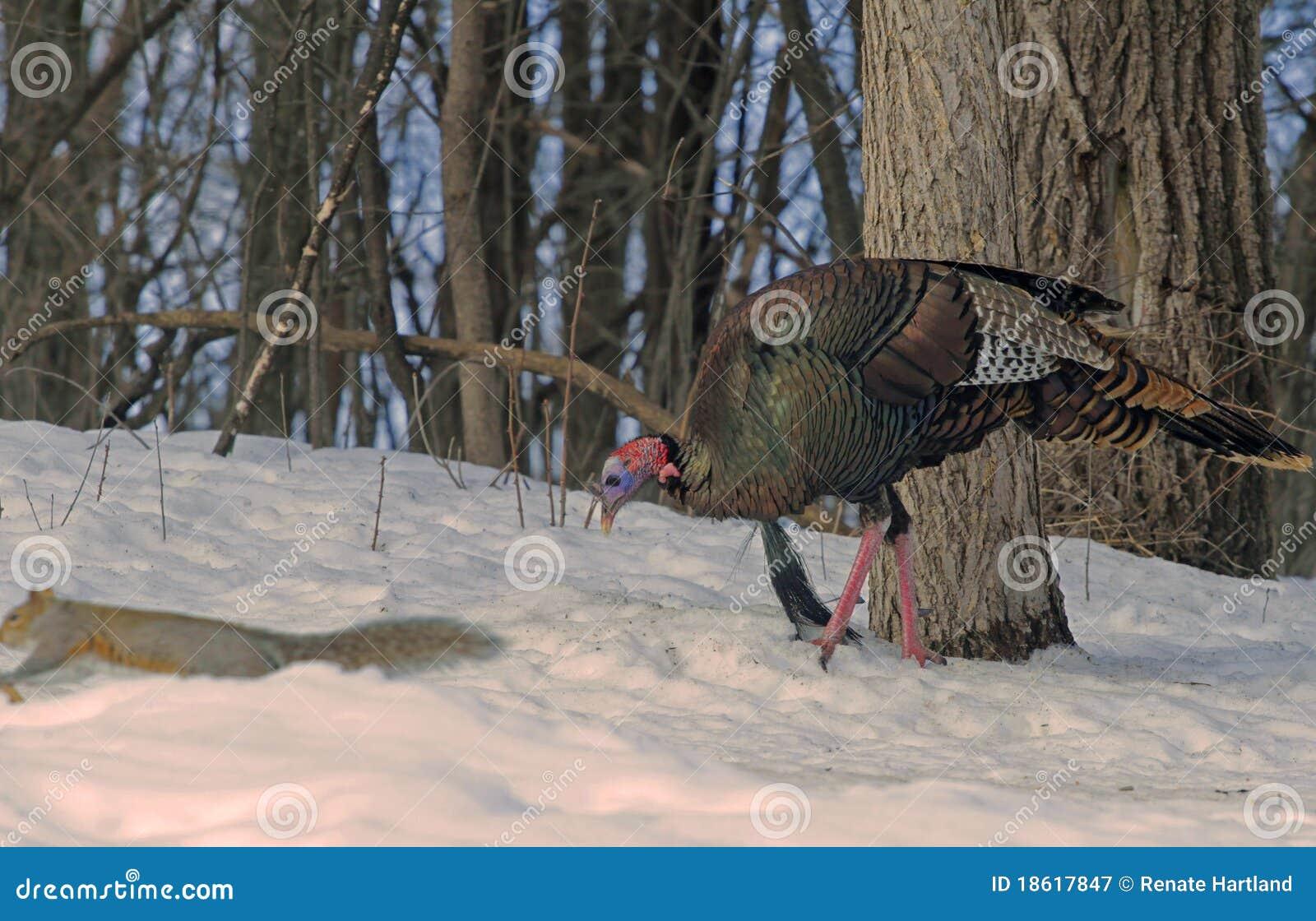 Die wilde Türkei