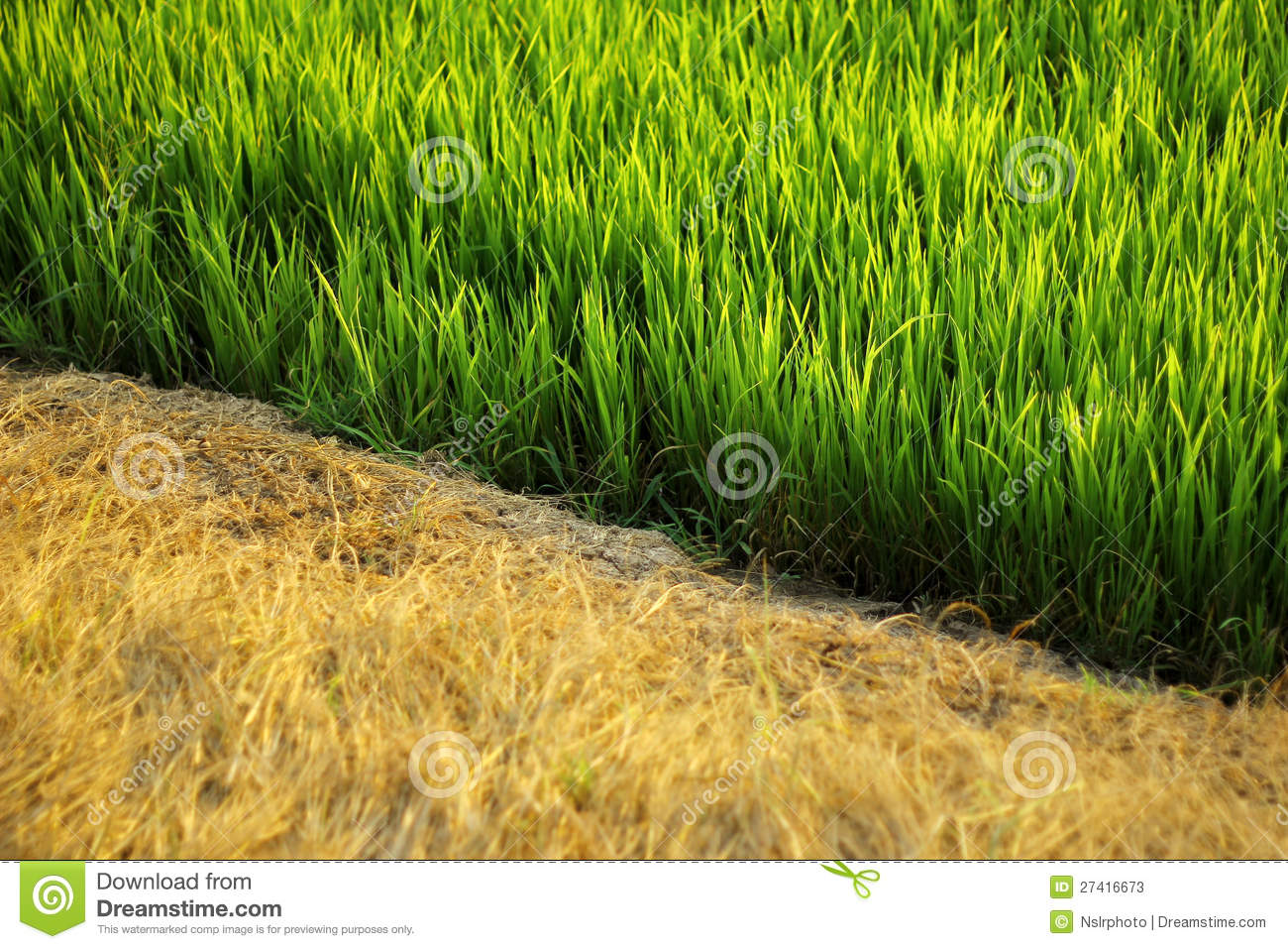 garden design with died yellow grass and green rice plants stock photos image with images