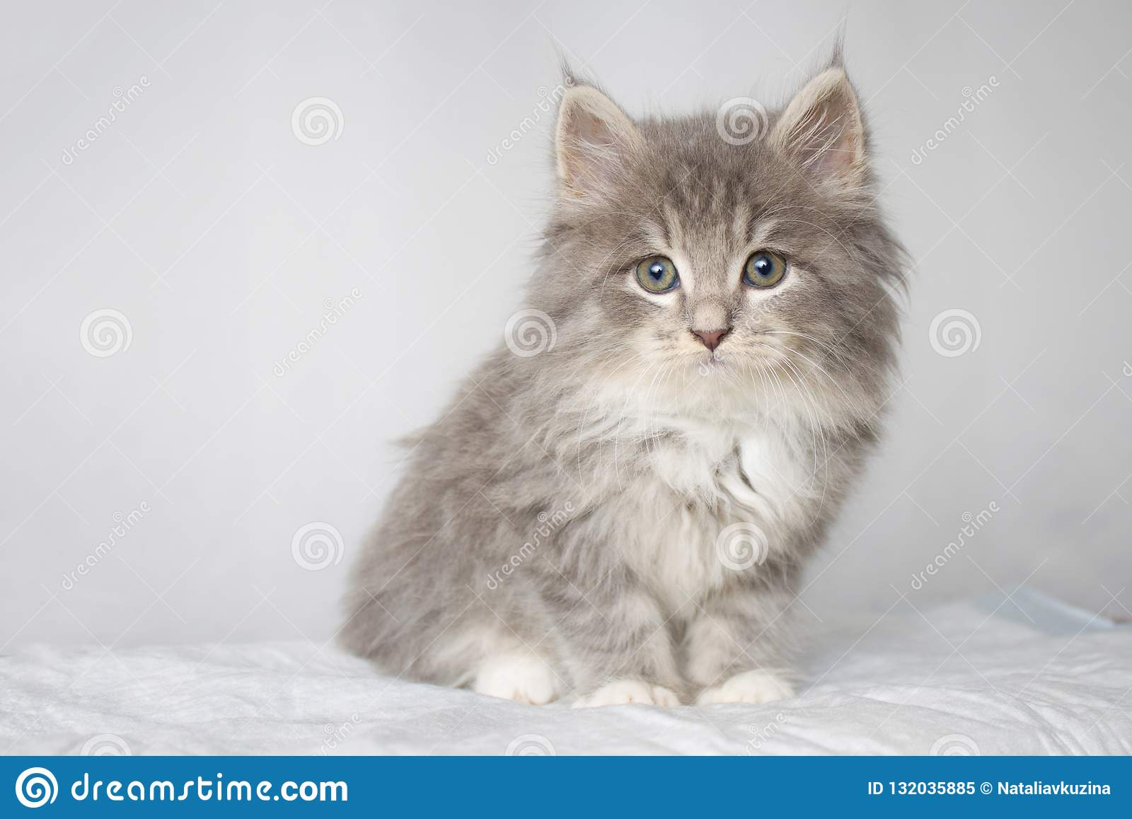 Dient de pluizige Maine wasbeer van Grey Persian Little kitte bij dierenartskliniek en blauwe handschoenen in De kat kijkt aan de