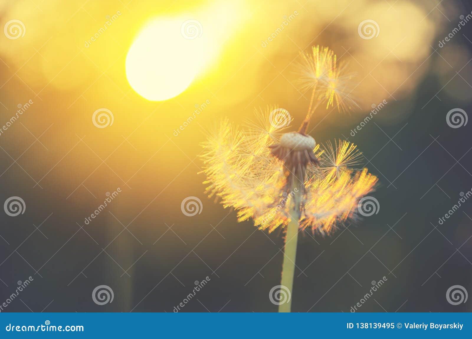 Diente de león mullido que crece en el jardín de la primavera iluminado por la luz de oro caliente del sol poniente en un fondo b