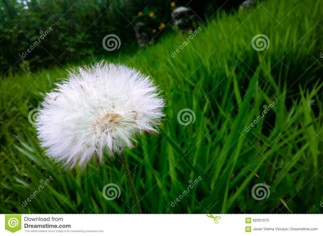 Diente De Leon Stock Image Image Of Leon Flowers Nature 92331573