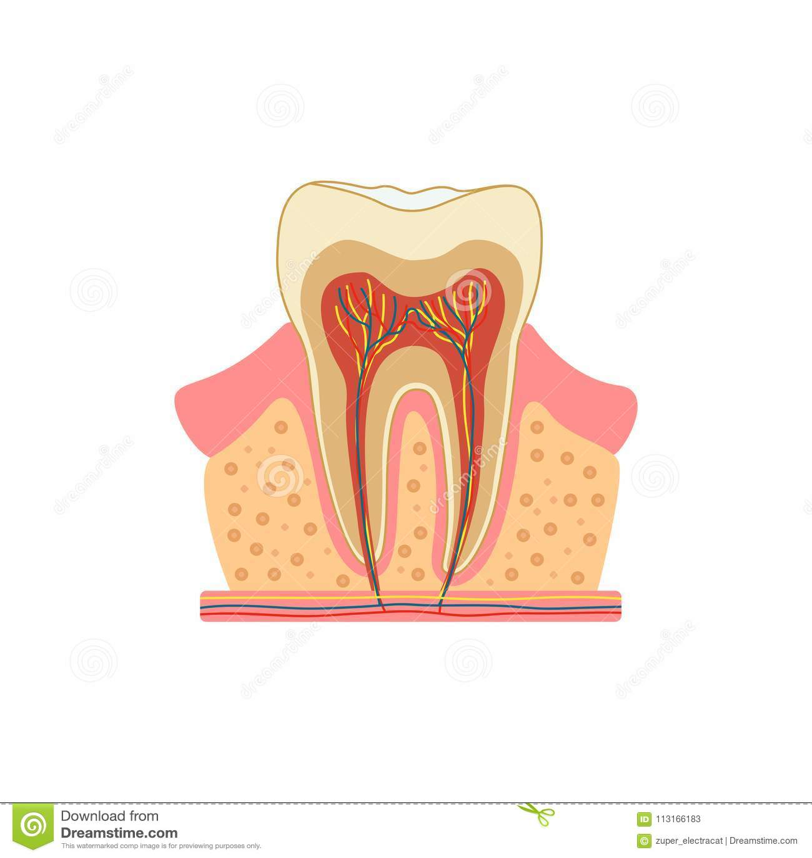 Diente en un corte Diagrama médico de la estructura del corte transversal interior del diente Concepto infographic del vector