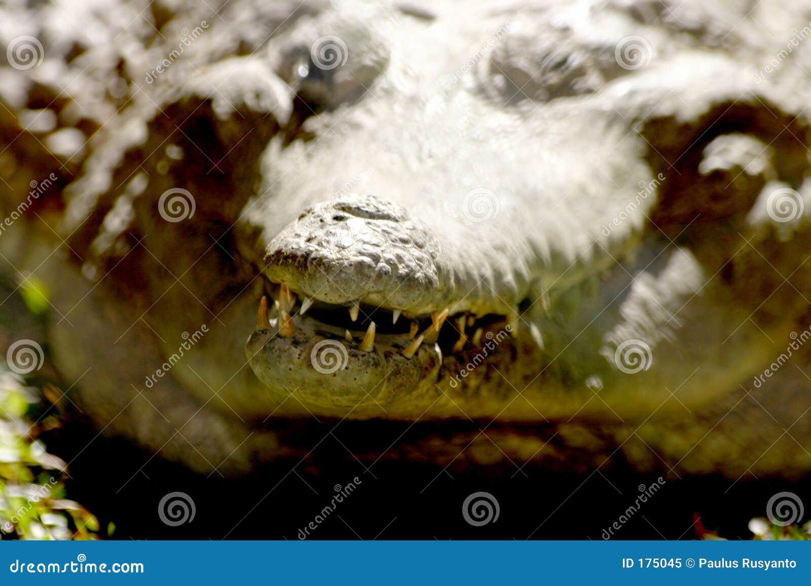 Dientes del cocodrilo