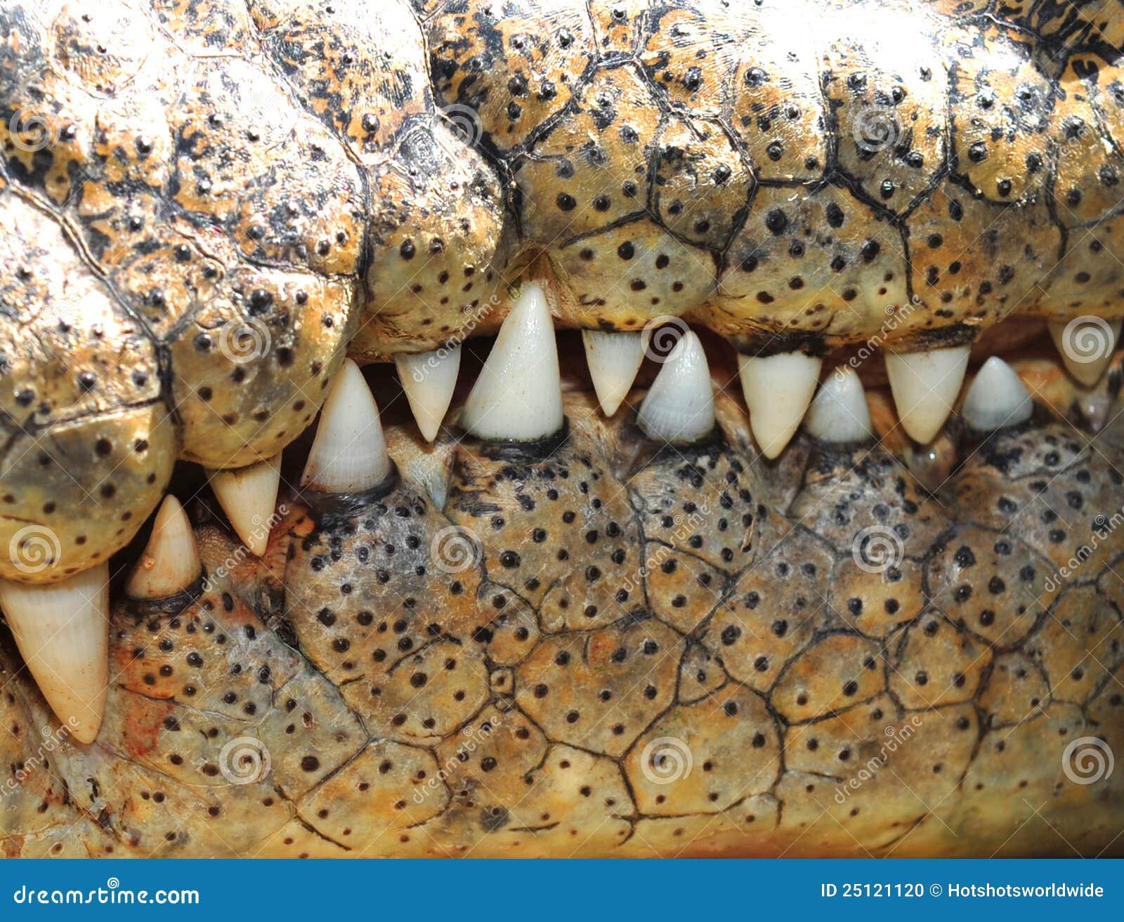 Dientes del cocodrilo del agua salada, Queensland, Australia