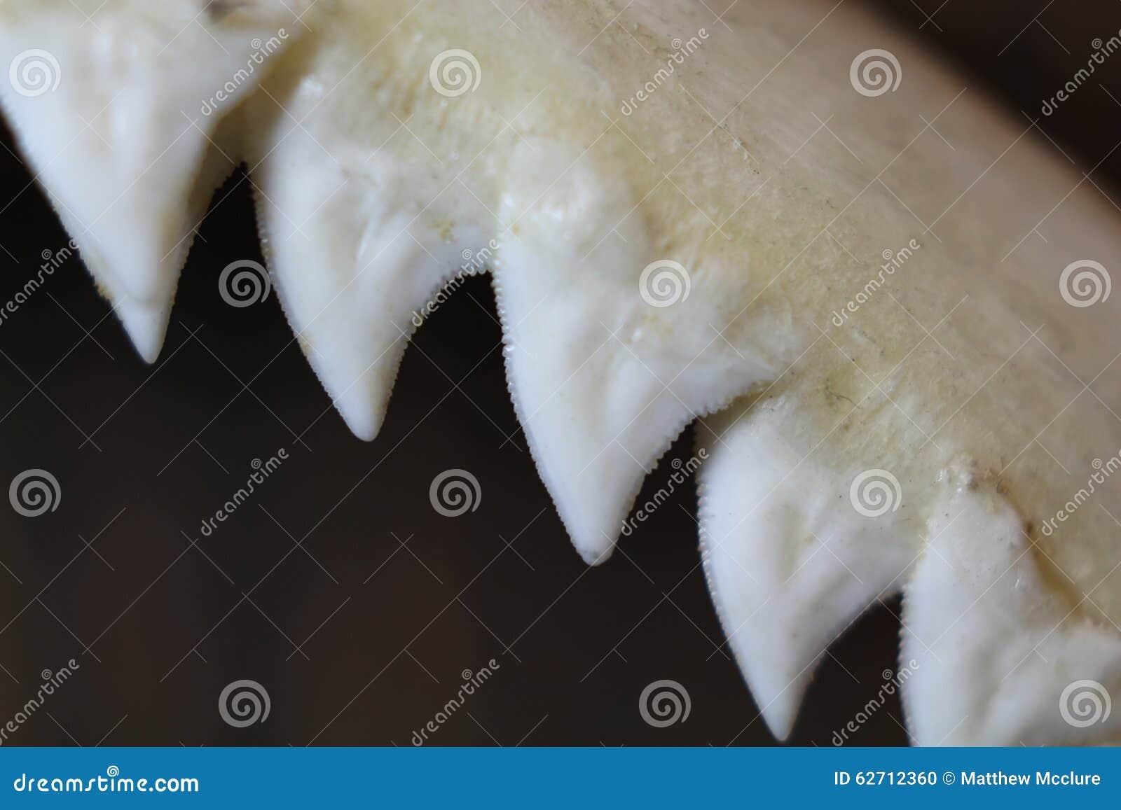 Dientes del tiburón de Bull