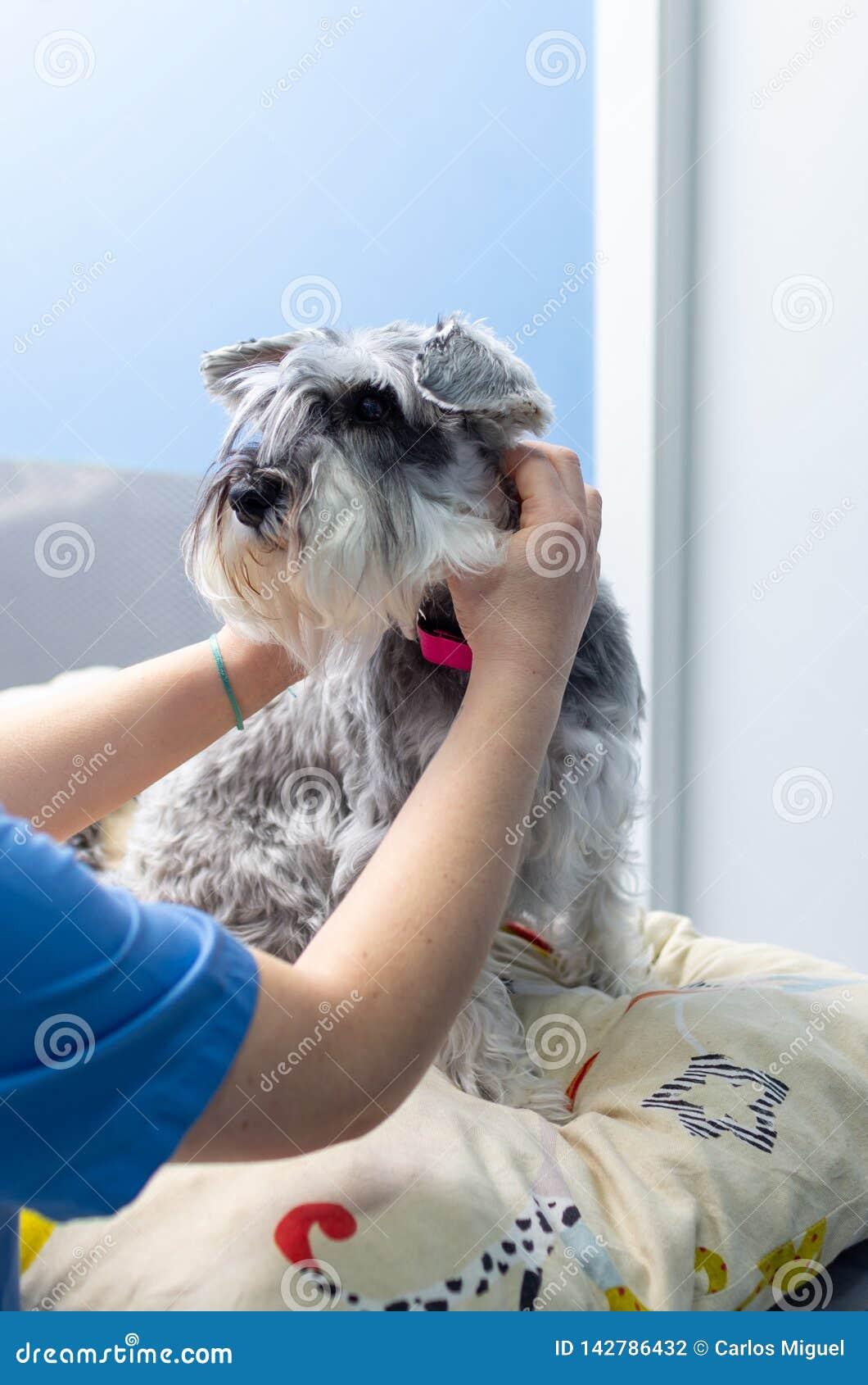 Dierenarts die een miniatuurschnauzer auscultating bij een veterinaire kliniek