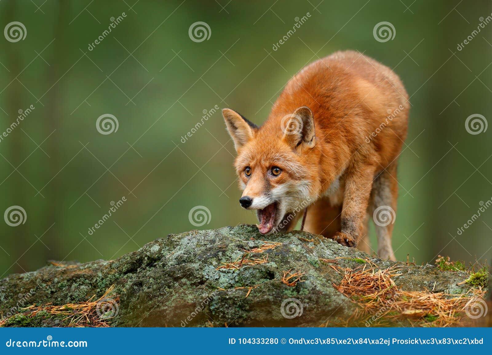 Dierlijk, groen milieu, steen Vos in bos Leuke Rode Vos, Vulpes vulpes, bij bos met bloemen, mossteen Het wildscène F