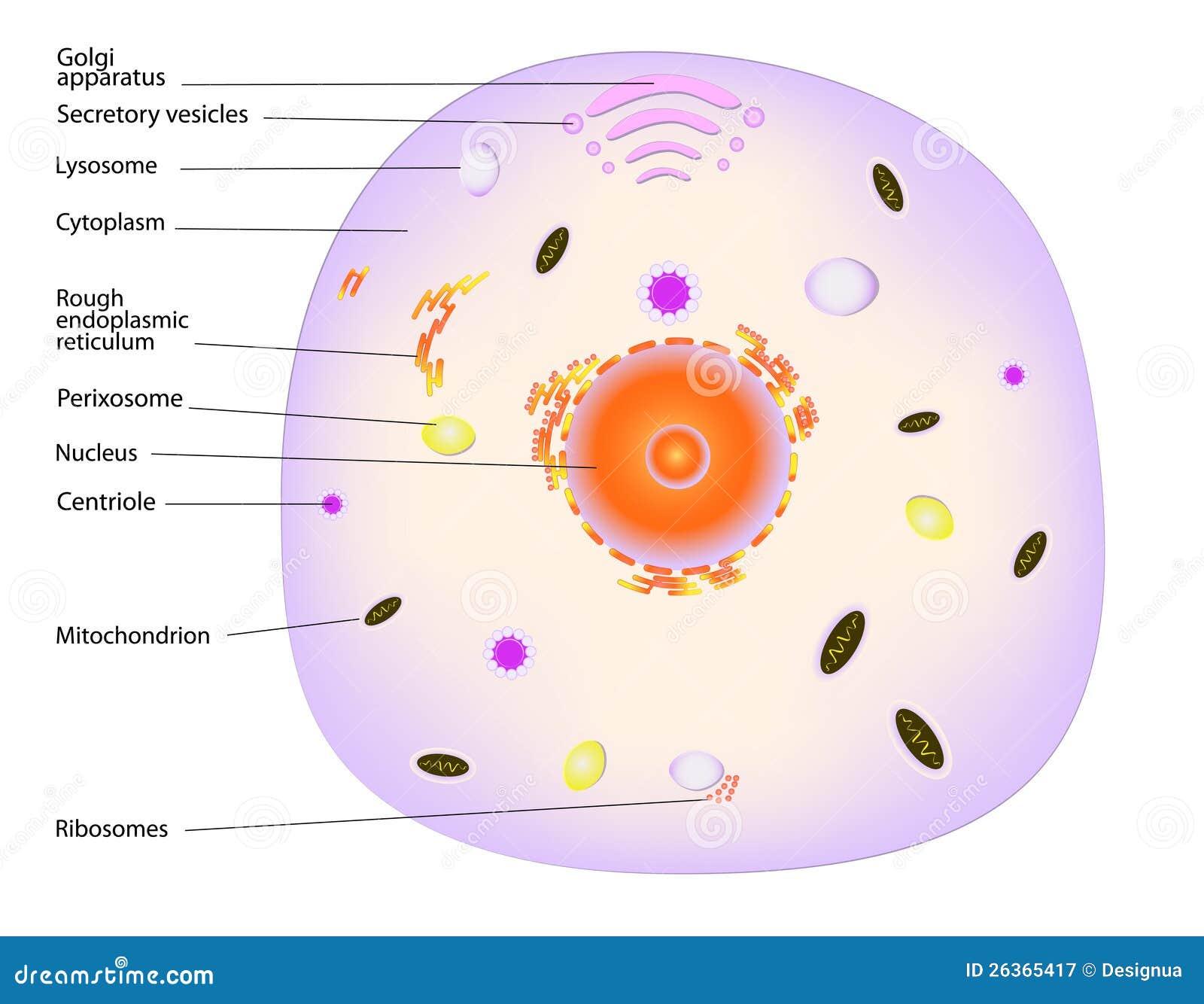 eukaryotic cell 2d - photo #8