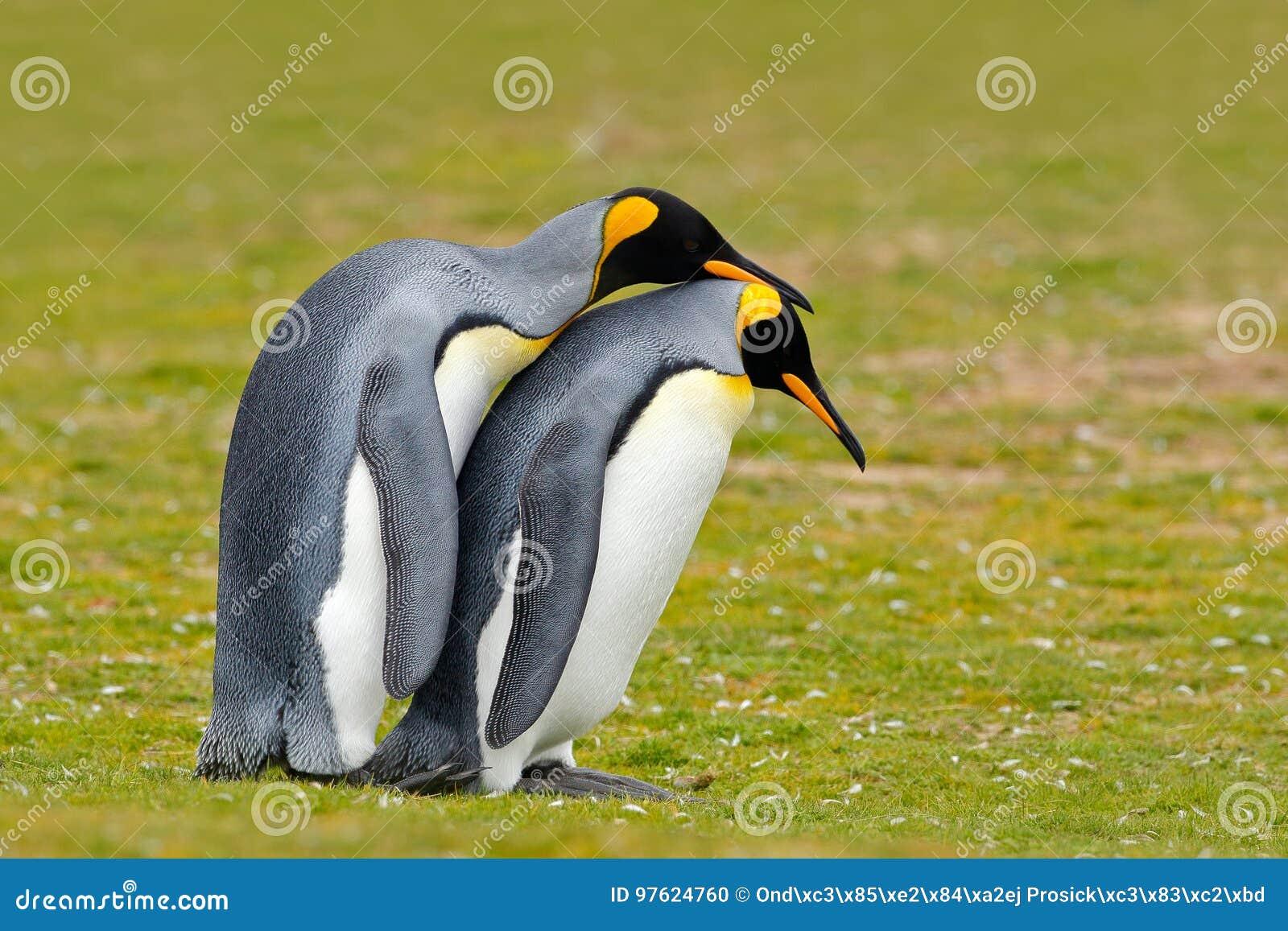 Dierlijke Liefde Het paar van de koningspinguïn geknuffel, wilde aard, groene achtergrond Twee pinguïnen die liefde maken In het