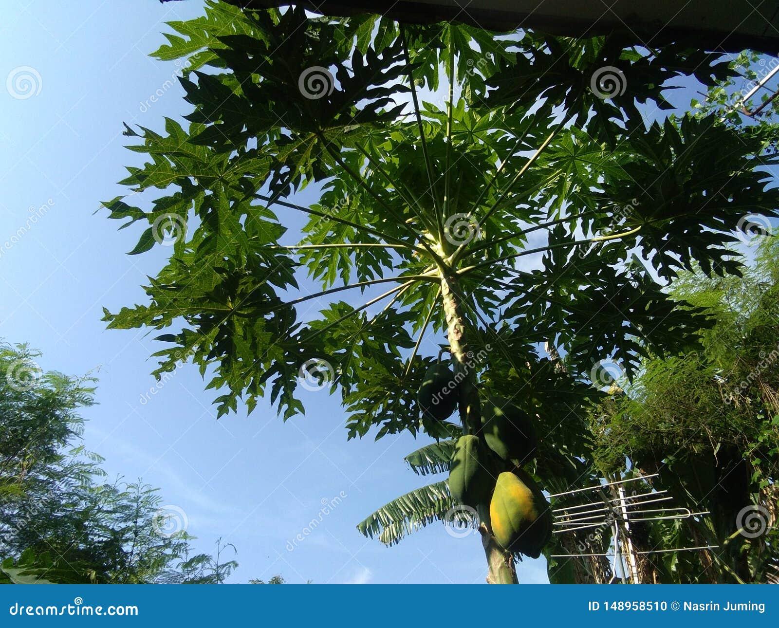 Dieser Papayabaum