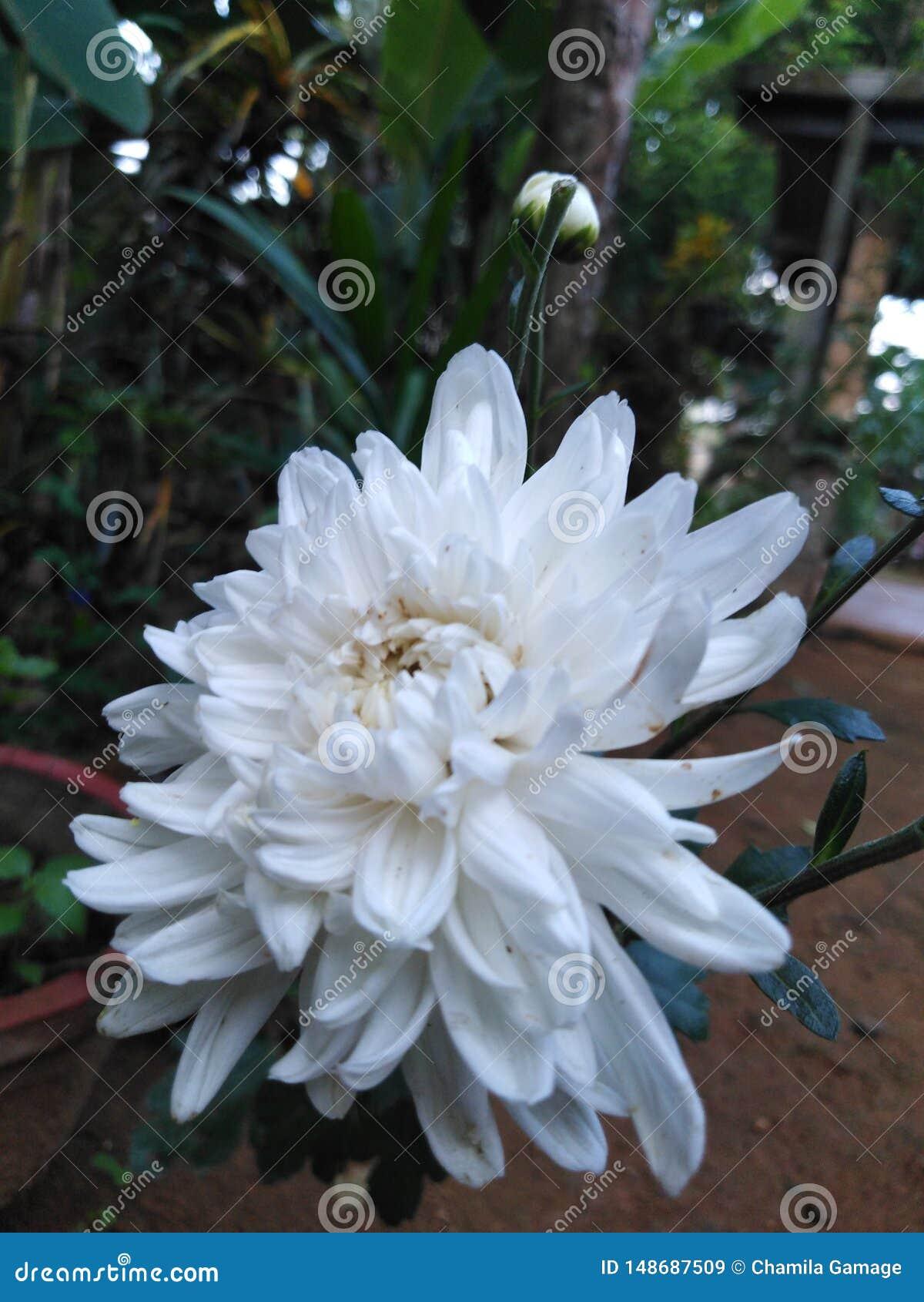 Dieses ist eine Kapuru-Blume in Sri Lanka