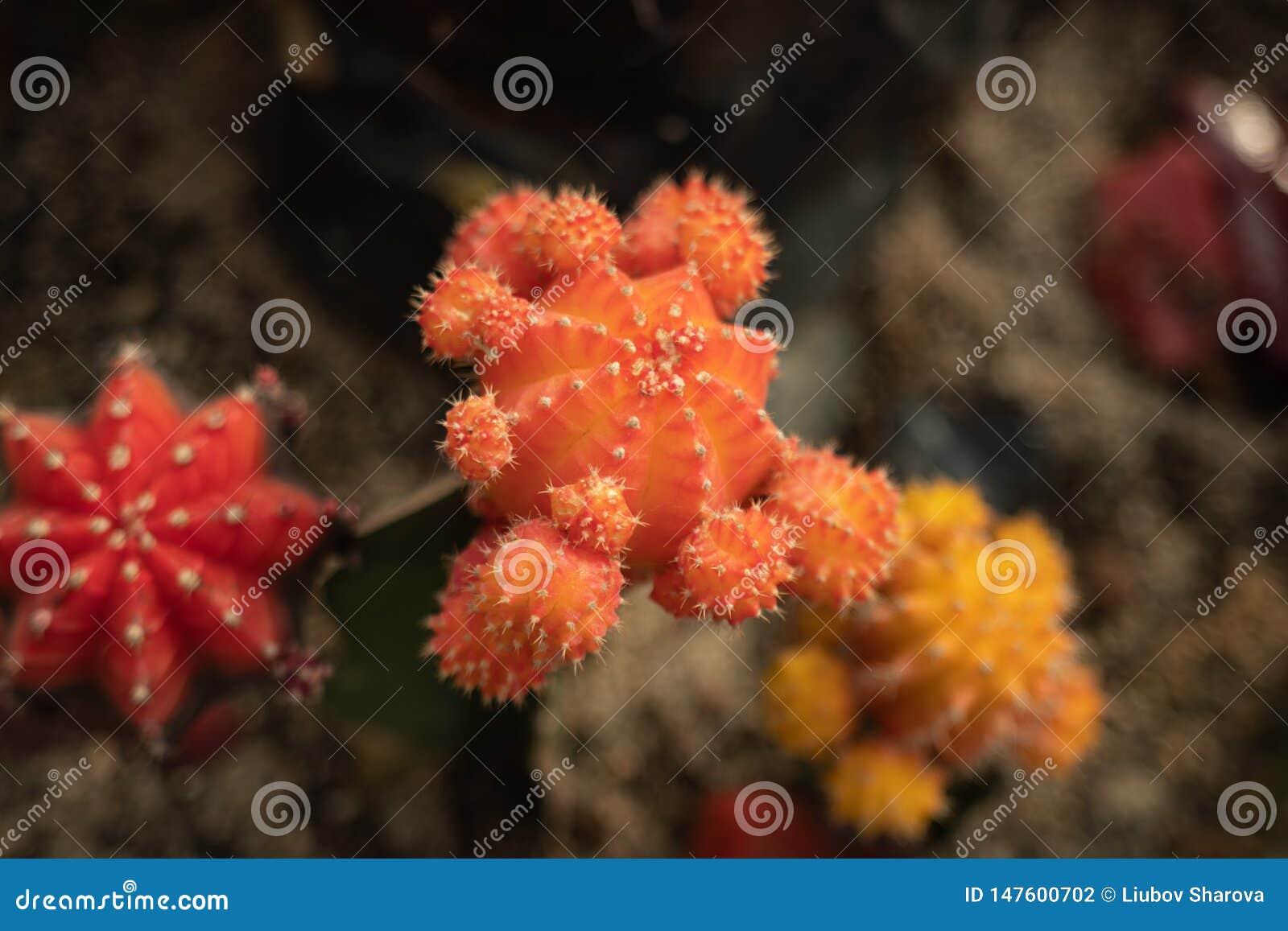 Différents cactus de couleur