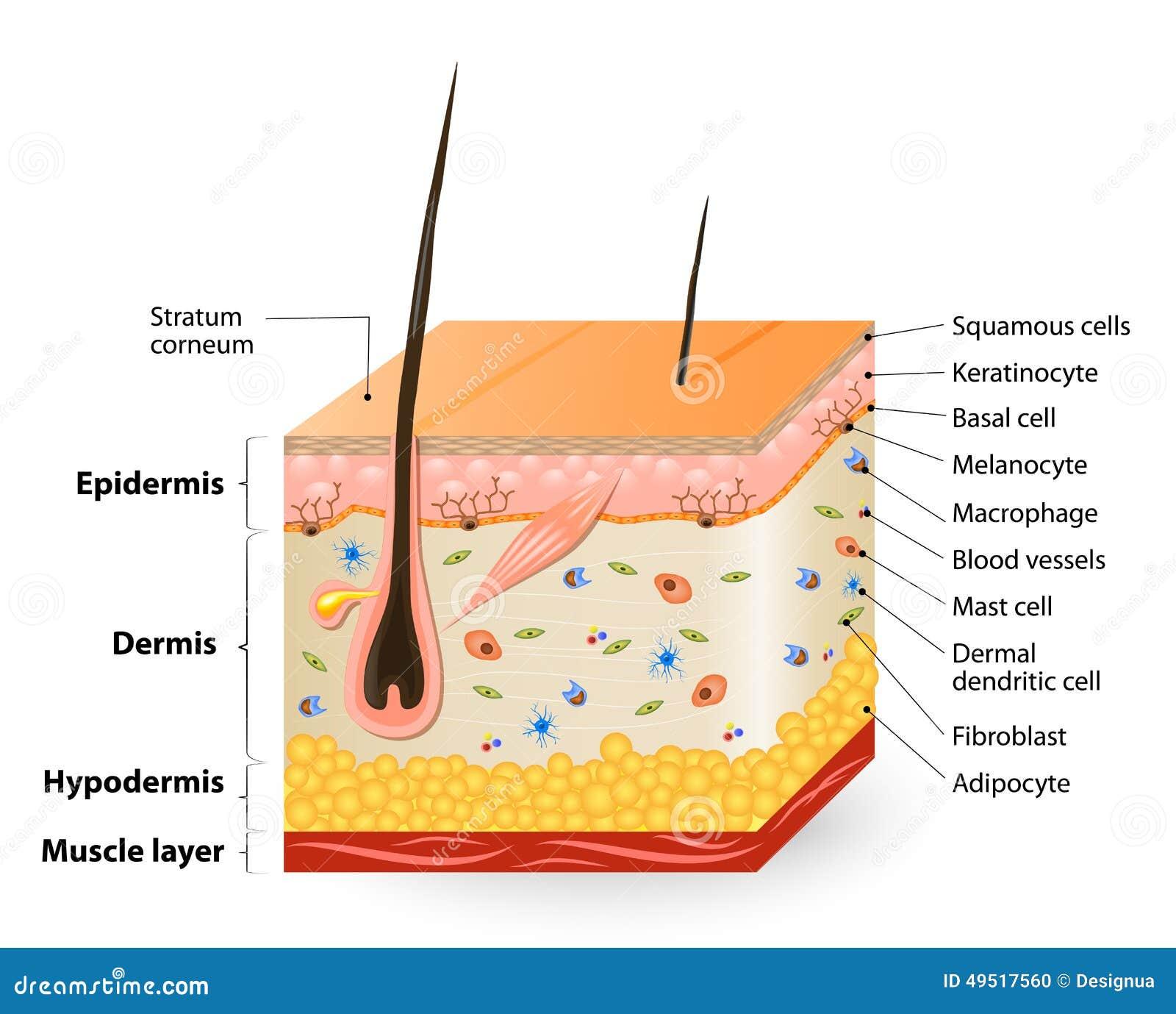 diff rents types de cellules peuplant la peau illustration de vecteur image 49517560. Black Bedroom Furniture Sets. Home Design Ideas