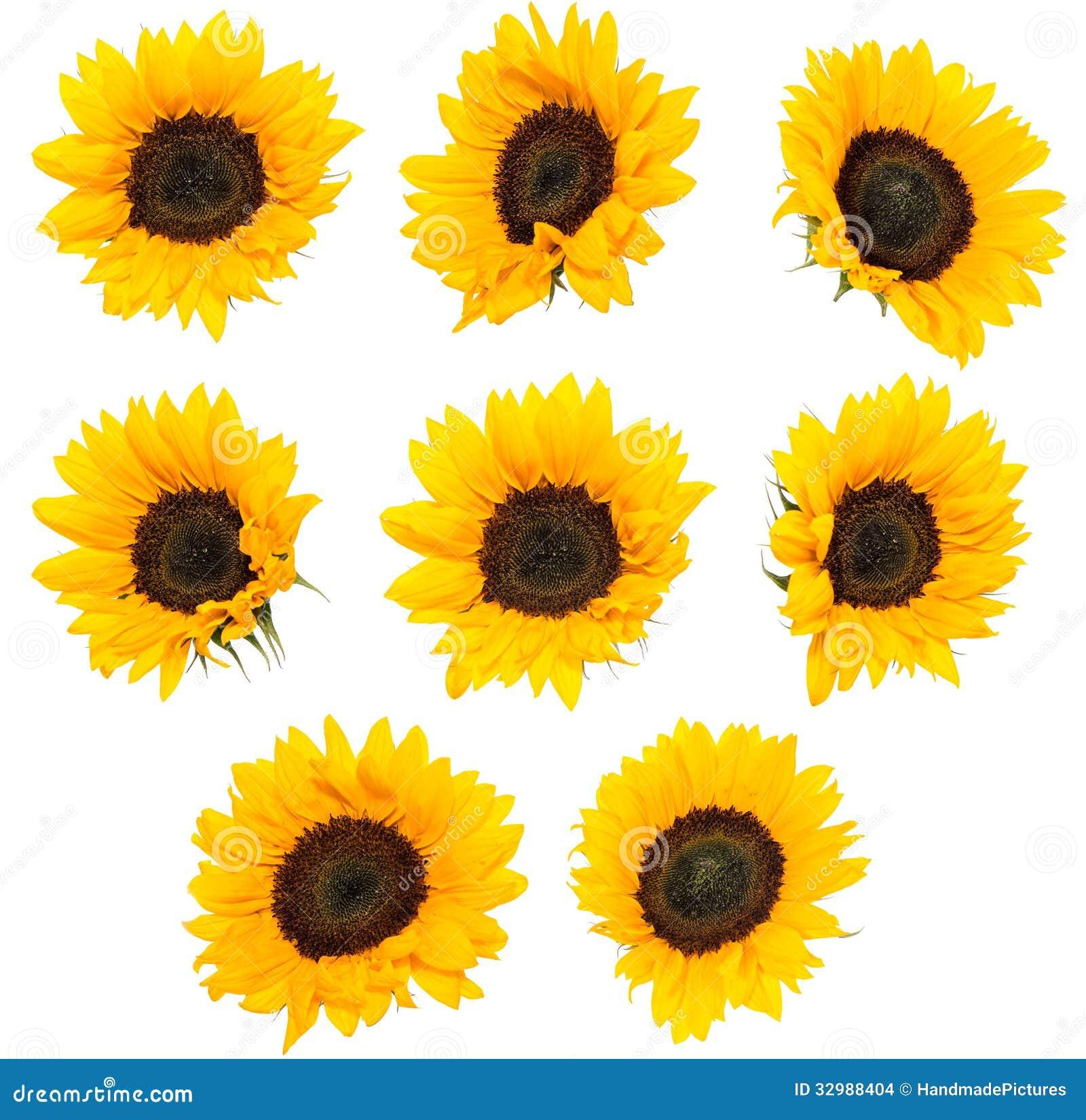 Differen-Sonnenblumen lokalisiert auf Weiß