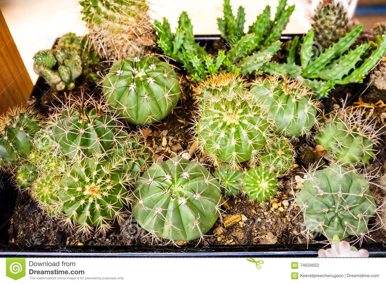 different cactus plants in flowerpots on wooden table stock photo