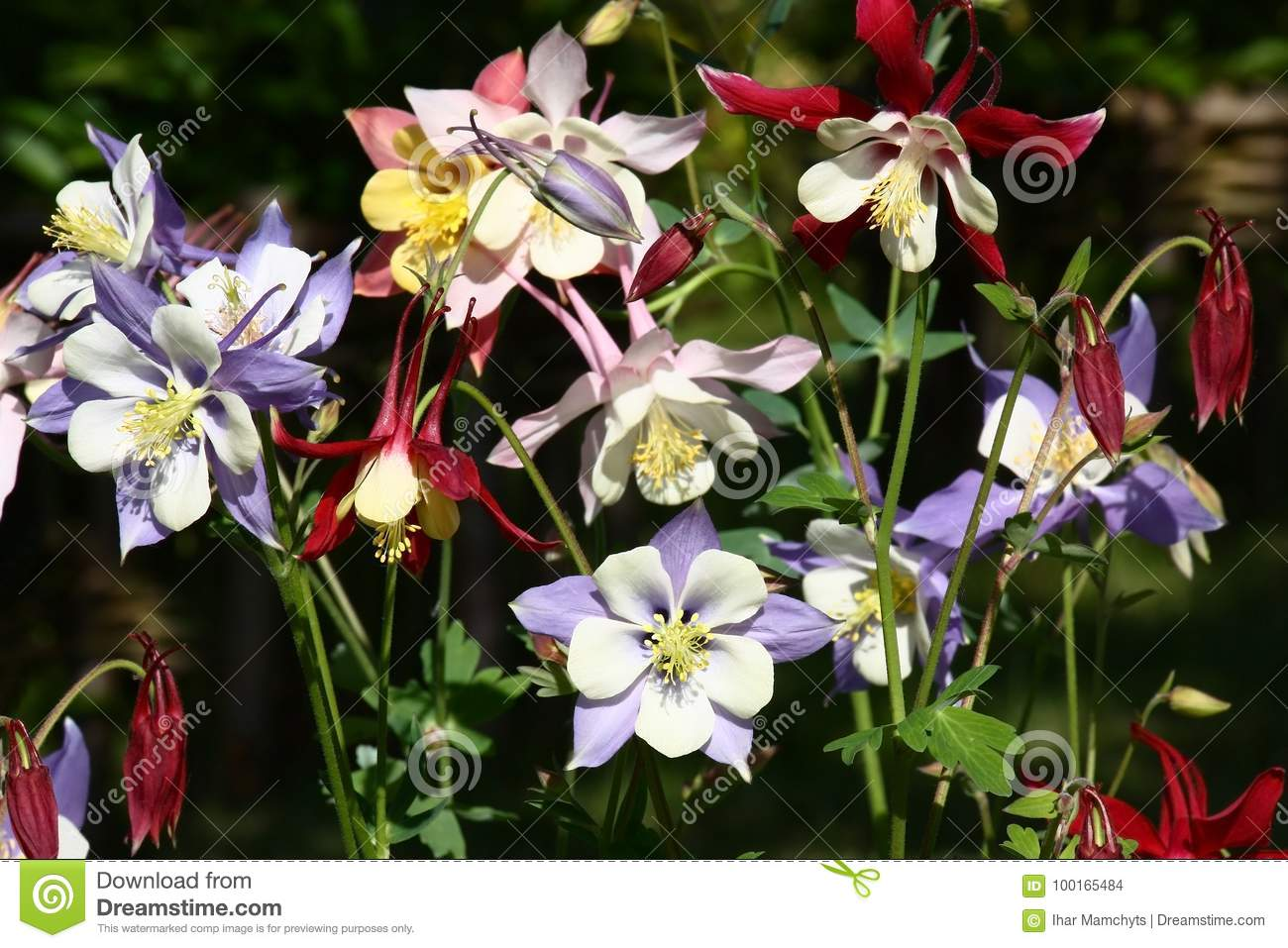 Different color of a aquilegia stock photo image of violet in one place of a flower bed aquilegia with flowers of different colors blossom izmirmasajfo