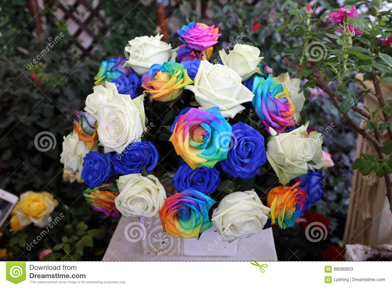 Different Coloured Blue And White Rose Flower Ball In Garden Stock