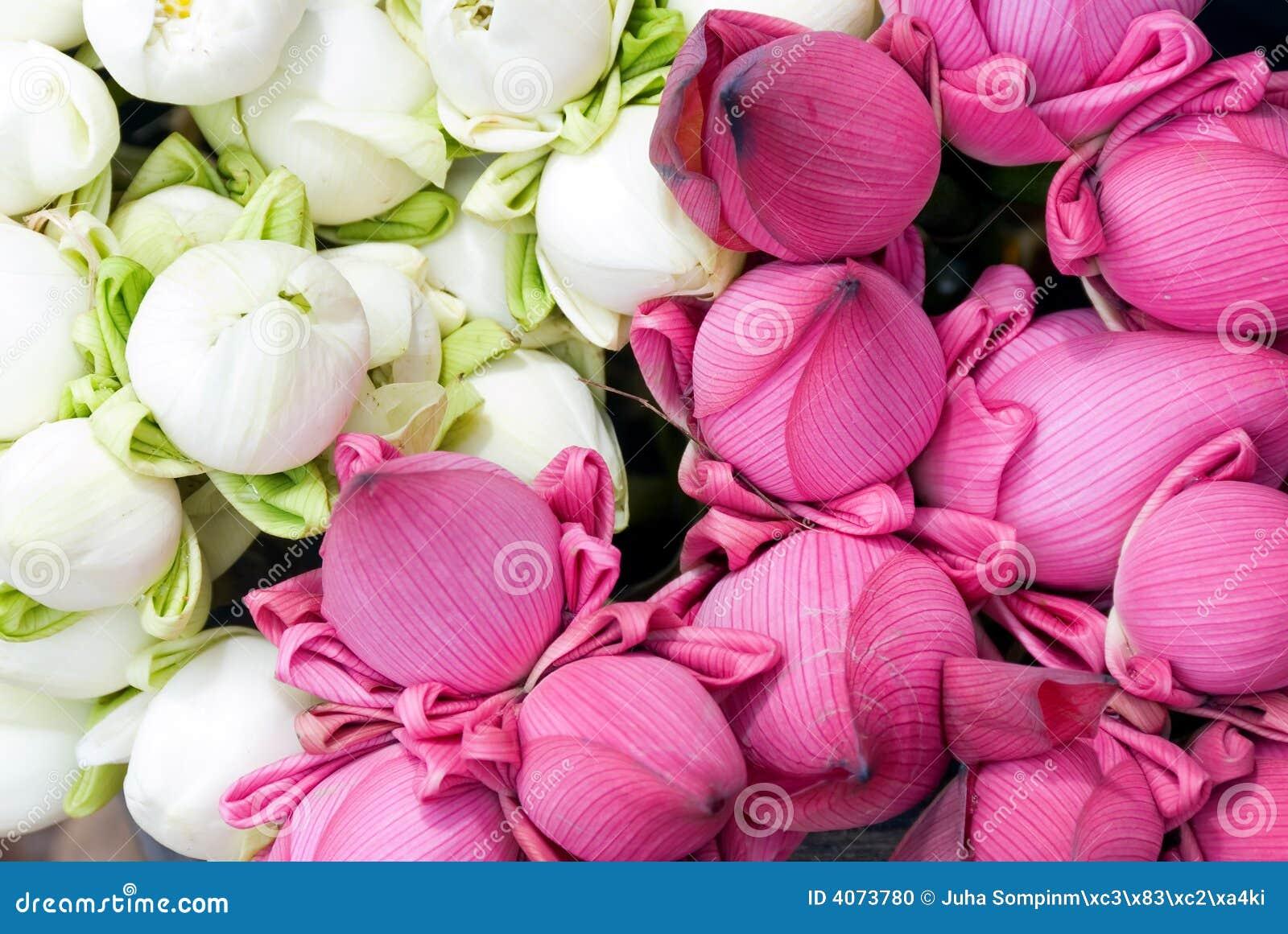 Lotus Flower Colours Gallery Fresh Lotus Flowers