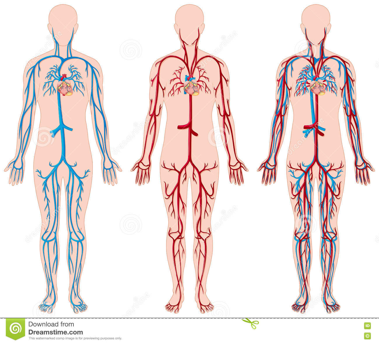 different diagram of blood vessels in human stock vector illustration of picture  medical human body heart clipart human heart clip art free
