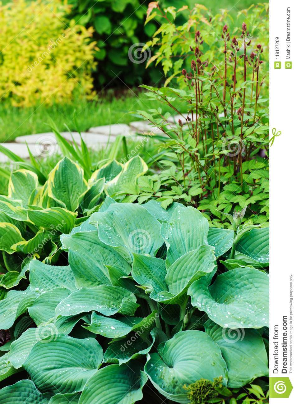 Different Hostas Planted With Astilbe In Garden Stock Image Image