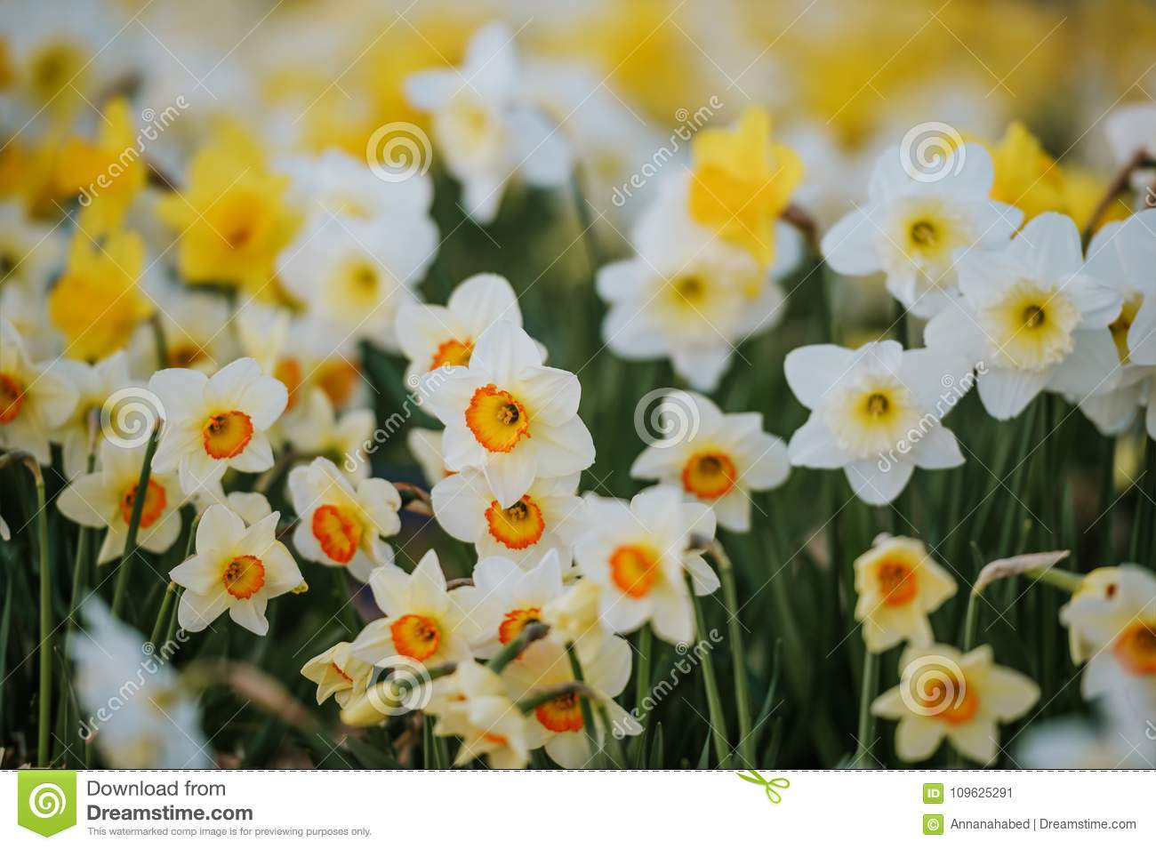 Different kind of white and yellow daffodil flowers stock image download different kind of white and yellow daffodil flowers stock image image of garden mightylinksfo