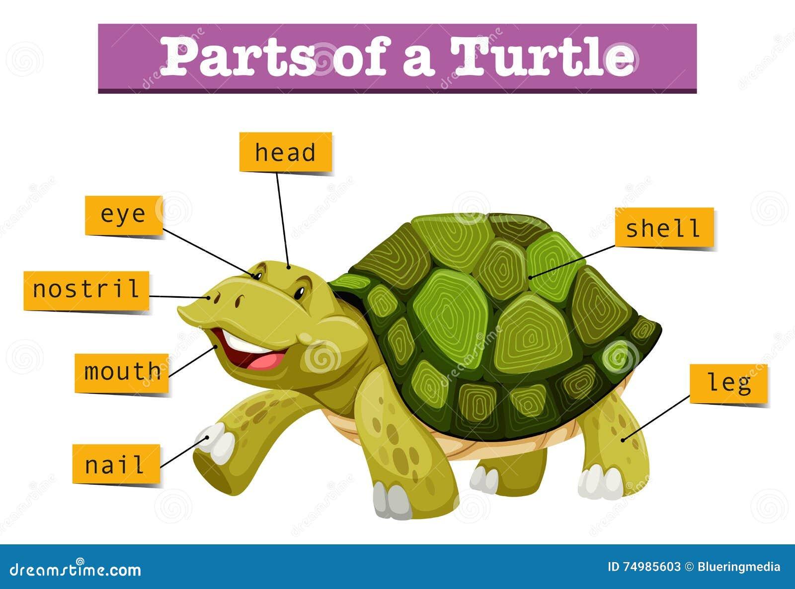 different parts of turtle stock vector image 74985603 tortoise clipart mask tortoise clip art black white