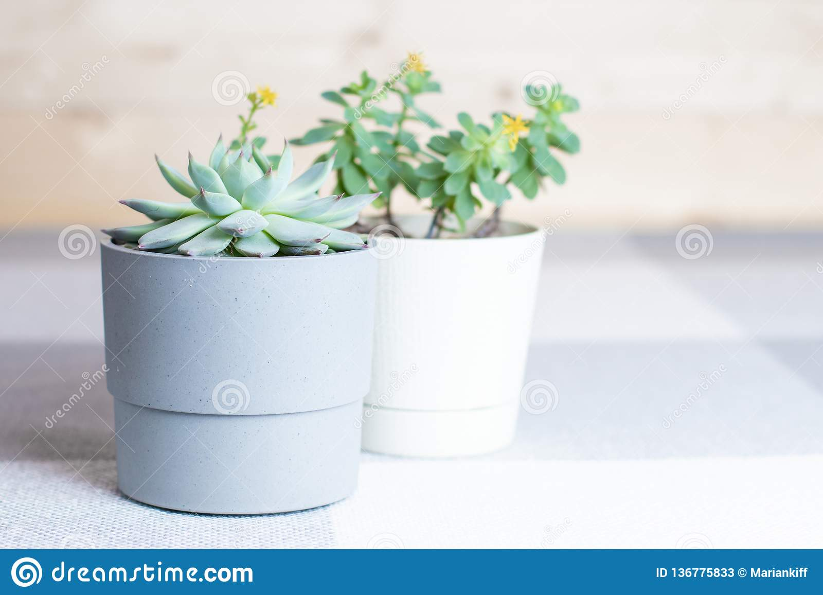 Succulent Flowers In Pots Home Interior Minimal Style Stock Image Image Of Garden Cotyledon 136775833