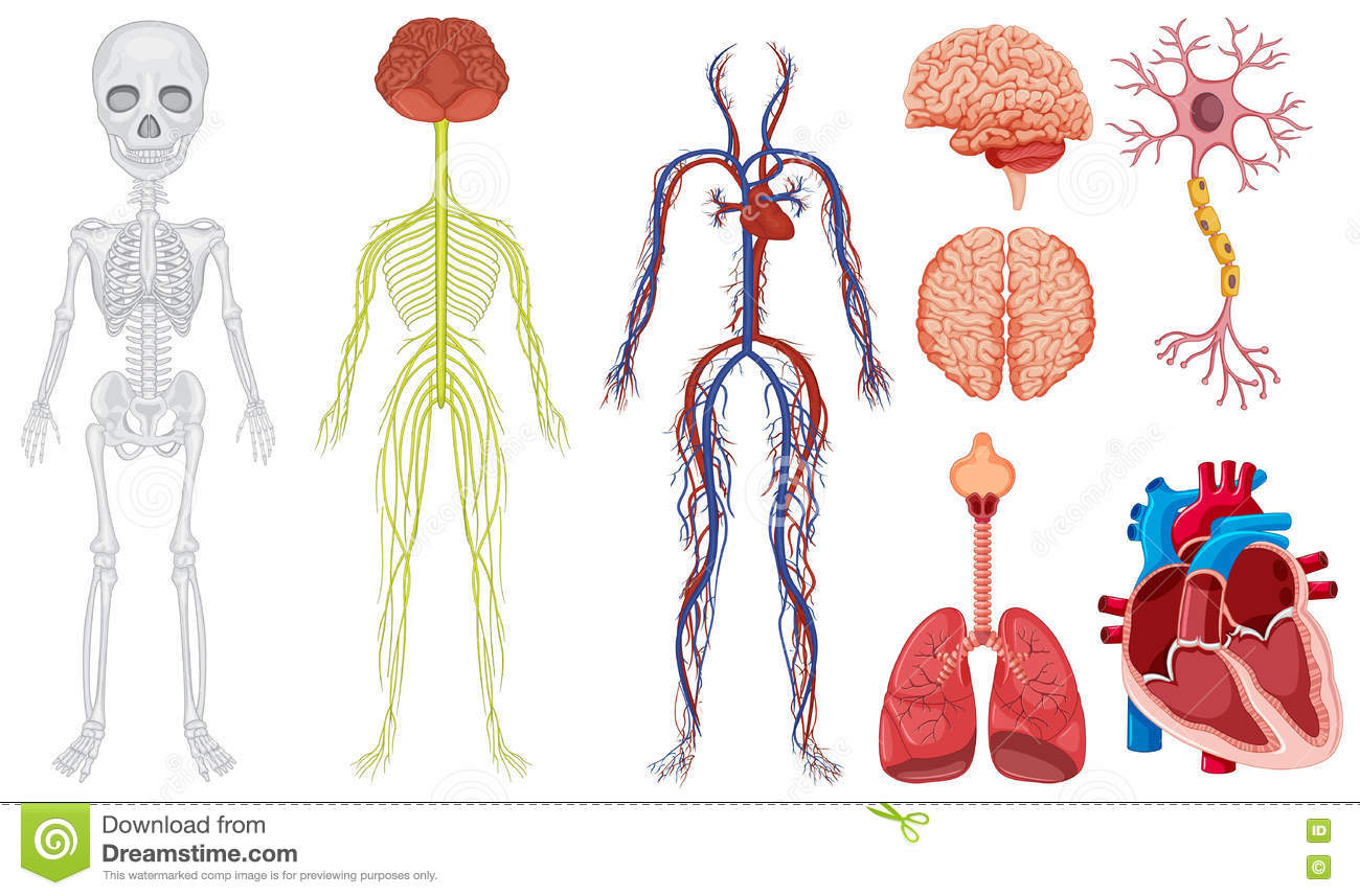 Different systems in a human body