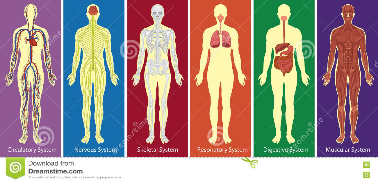 Different    Systems    Of Human    Body       Diagram    Stock Vector  Illustration of bones  drawing  73094964