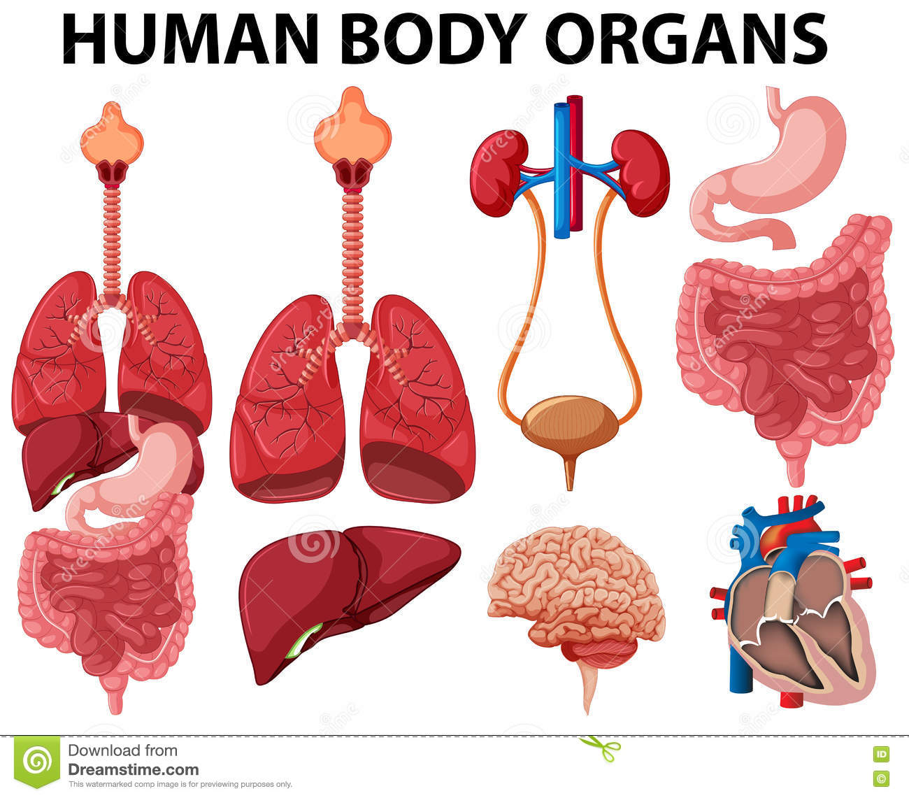 Different Type Of Human Body Organs Stock Vector Illustration Of