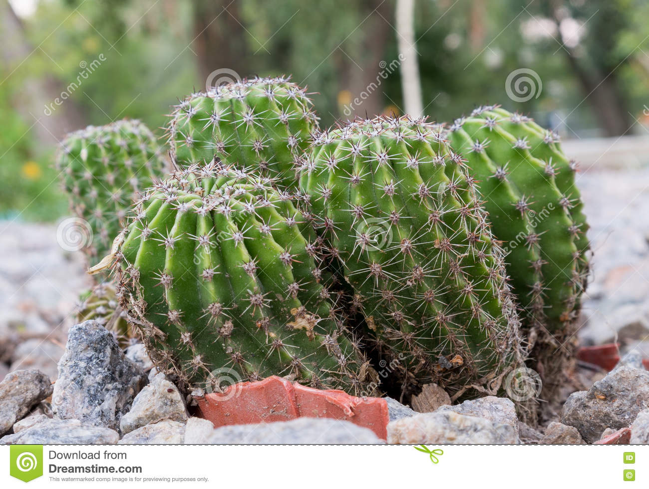 different types of cactus plants growing on rocks closeup stock
