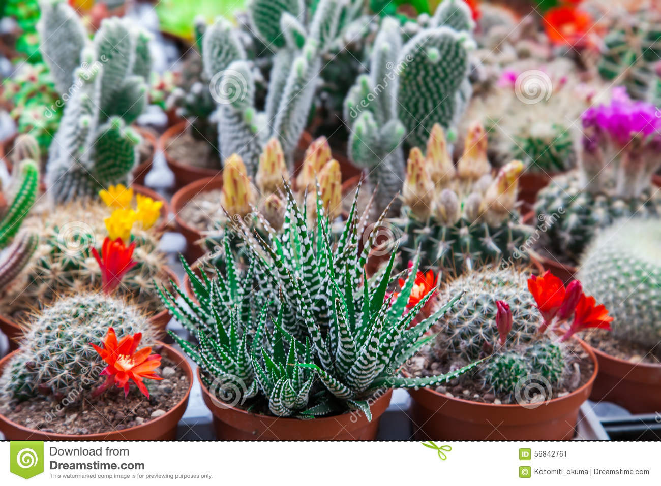 Different types of cactuses stock photo image 56842761 - Tipos de cactus fotos ...