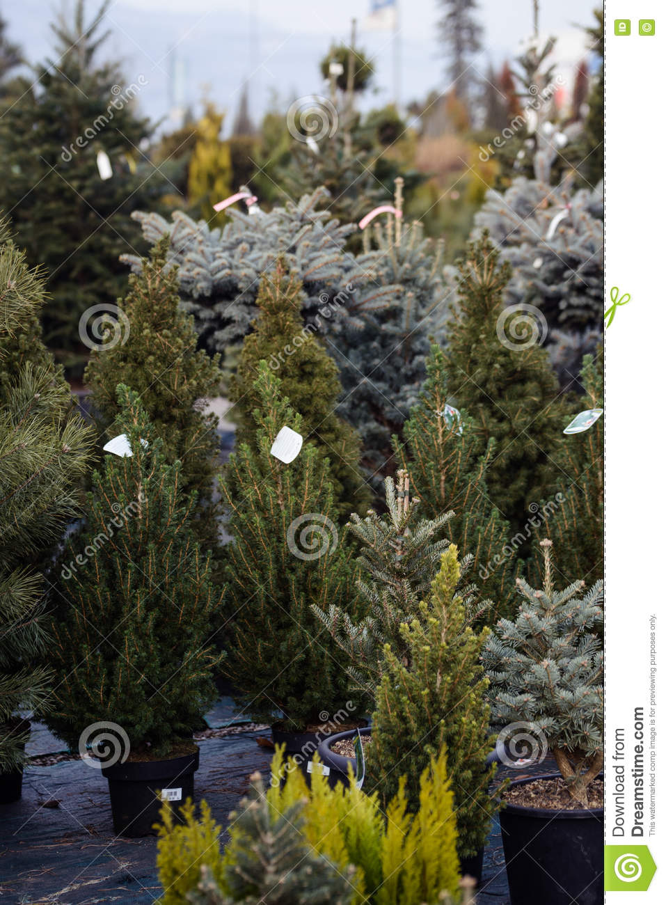 Different types of christmas trees pictures - Different Types Of Christmas Trees In Pots For Sale
