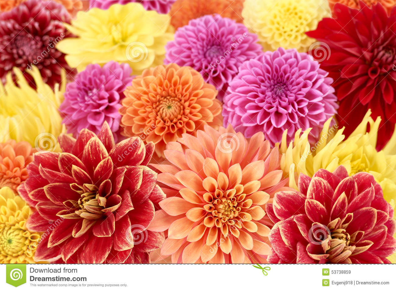 Dahlias Different Type Colorful Floral Background Stock Image