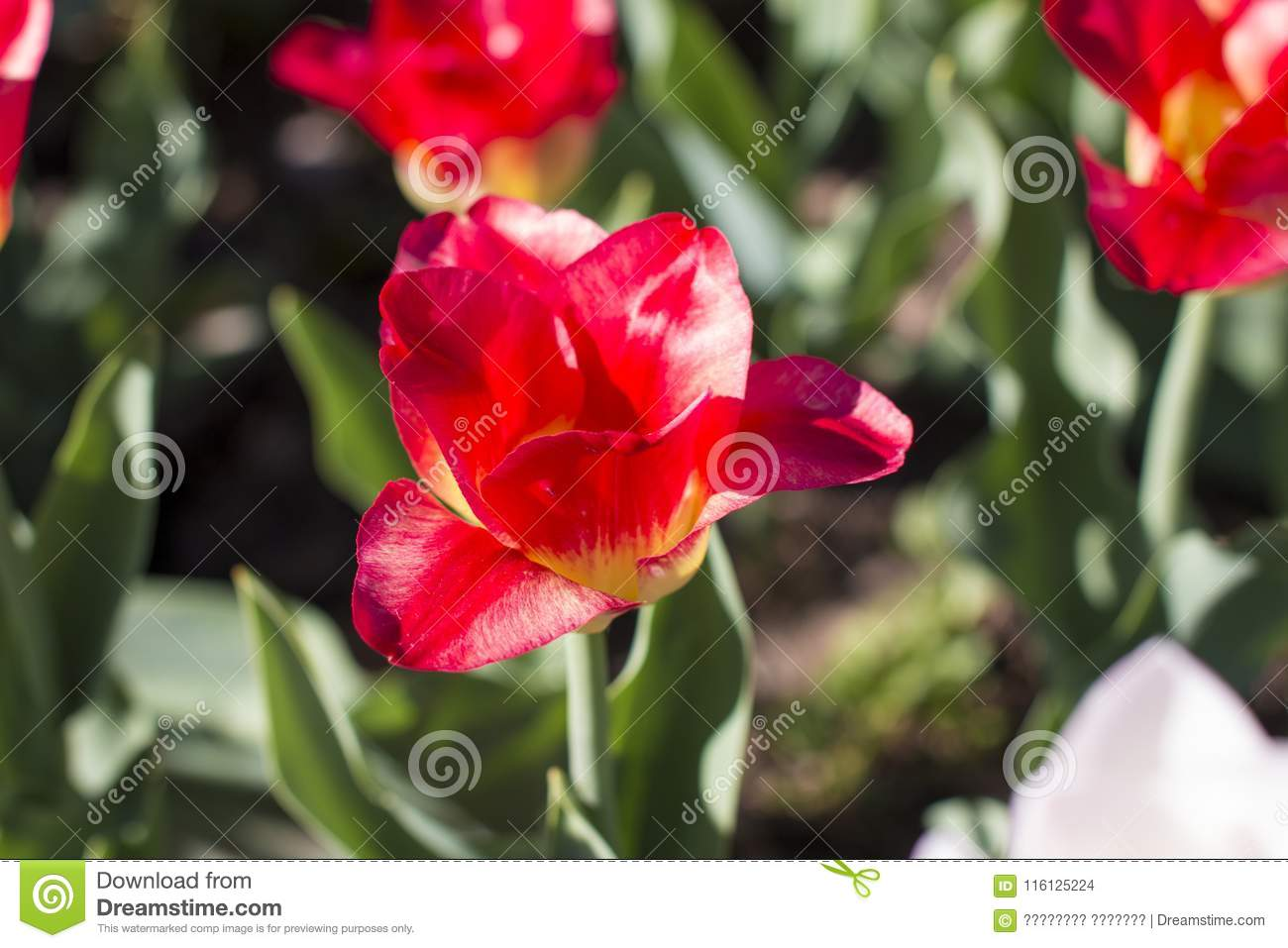 Different Types Of Tulips Color Flowers Stock Photo Image Of