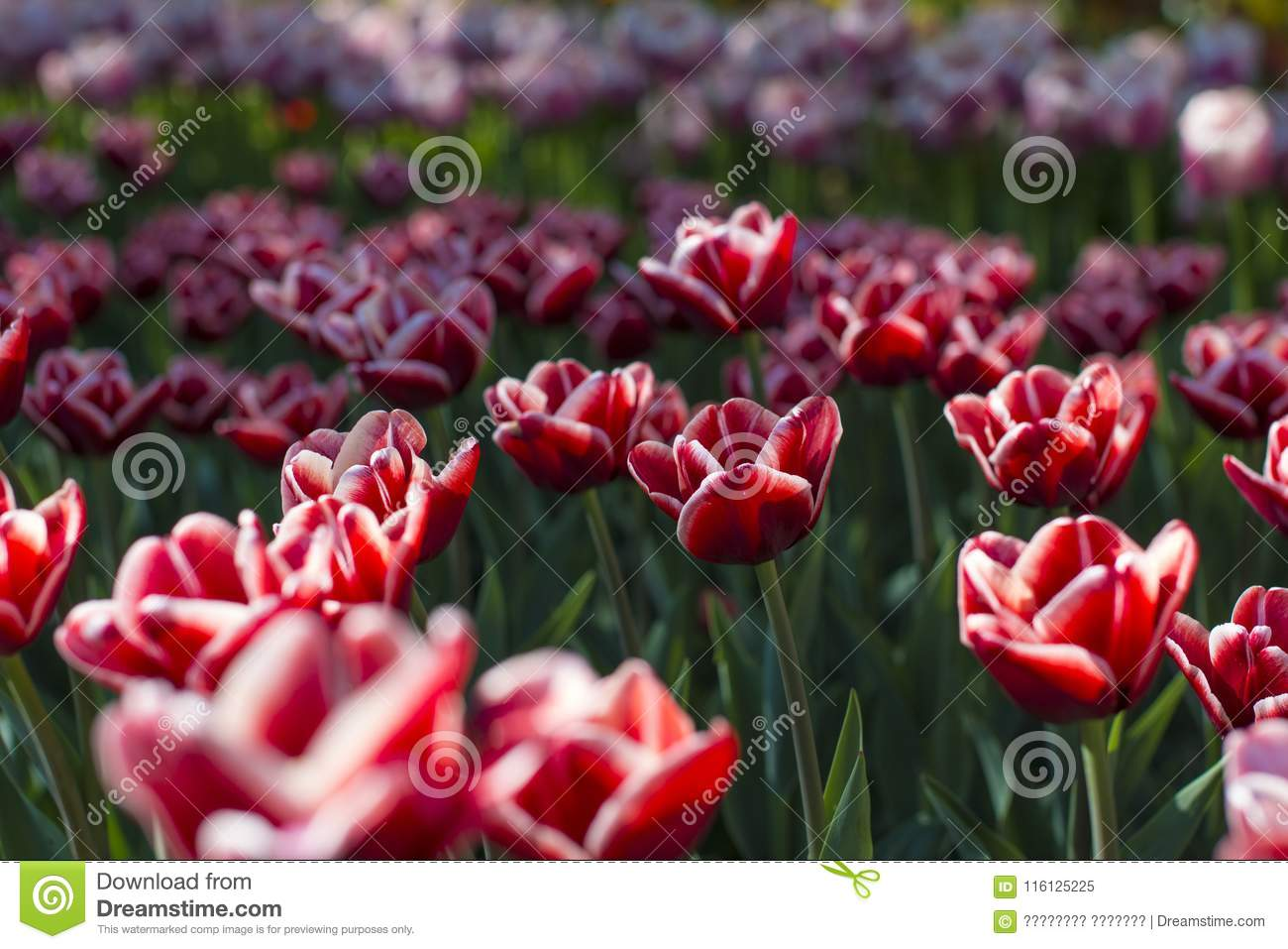 Different Types Of Tulips Color Flowers Stock Image Image Of
