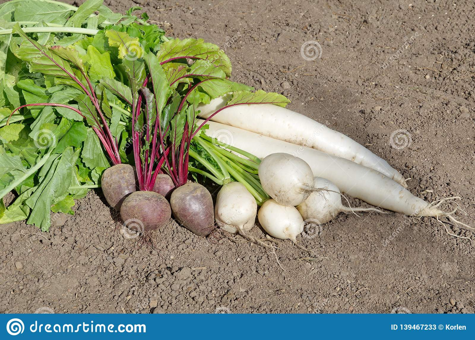 Different Varieties Of Daikon Radish And Beets Stock Image Image Of September Long 139467233