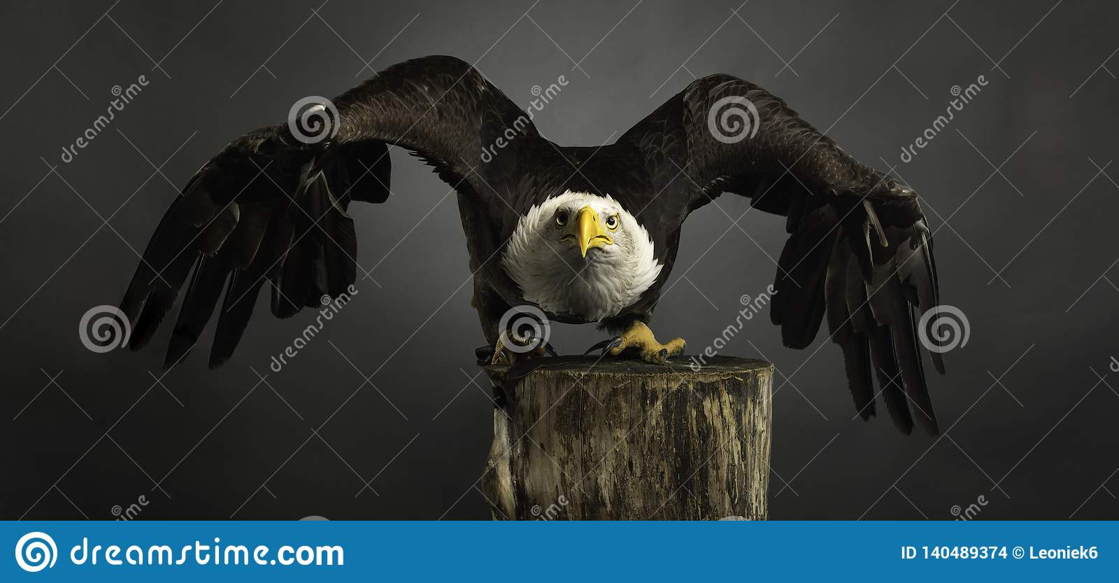 Diffusione grigia calva americana delle ali del fondo di Eagle del ritratto dello studio