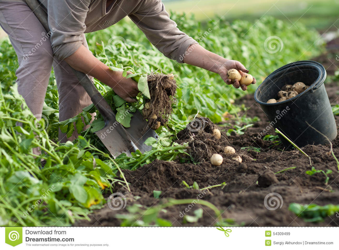 Dig up potatoes stock photo image 54309499 for Digging ground dream meaning