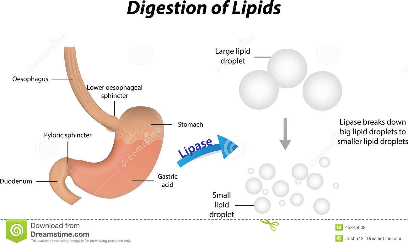 an analysis of the process of food digestion in human stomach Human physiology/the gastrointestinal system thus beginning the digestive process food is the body's source of fuel histology of the human stomach.