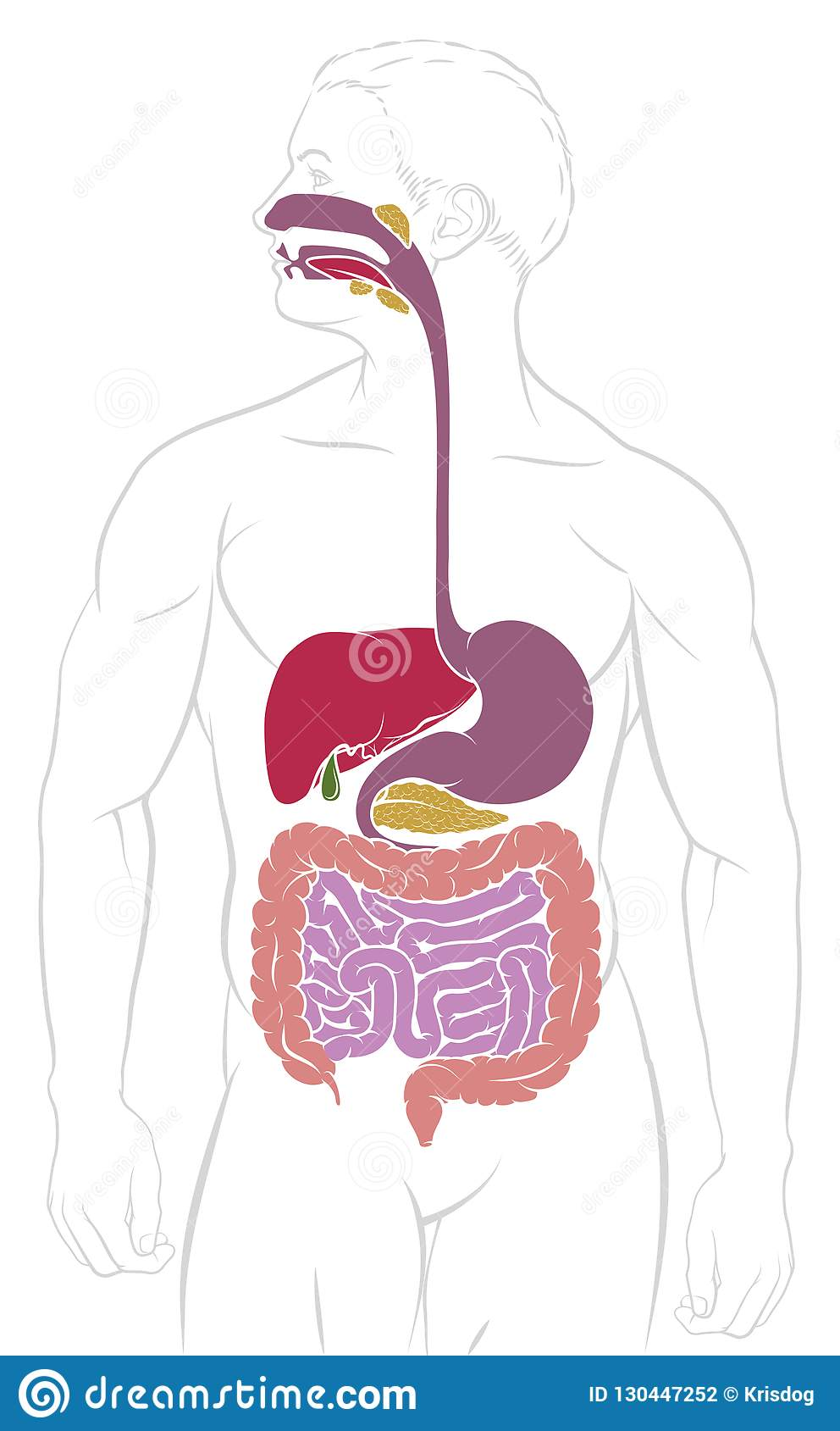 Digestive System Gastrointestinal Tract Diagram Stock Vector